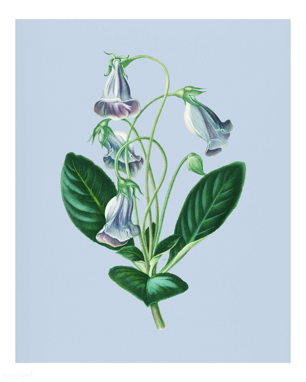 Brazilian gloxinia or Florist's gloxinia (Gloxinia caulescente) illustrated by Charles Dessalines D' Orbigny (1806-...