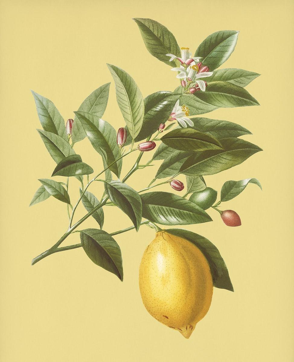 Vintage Illustration of Lemon.