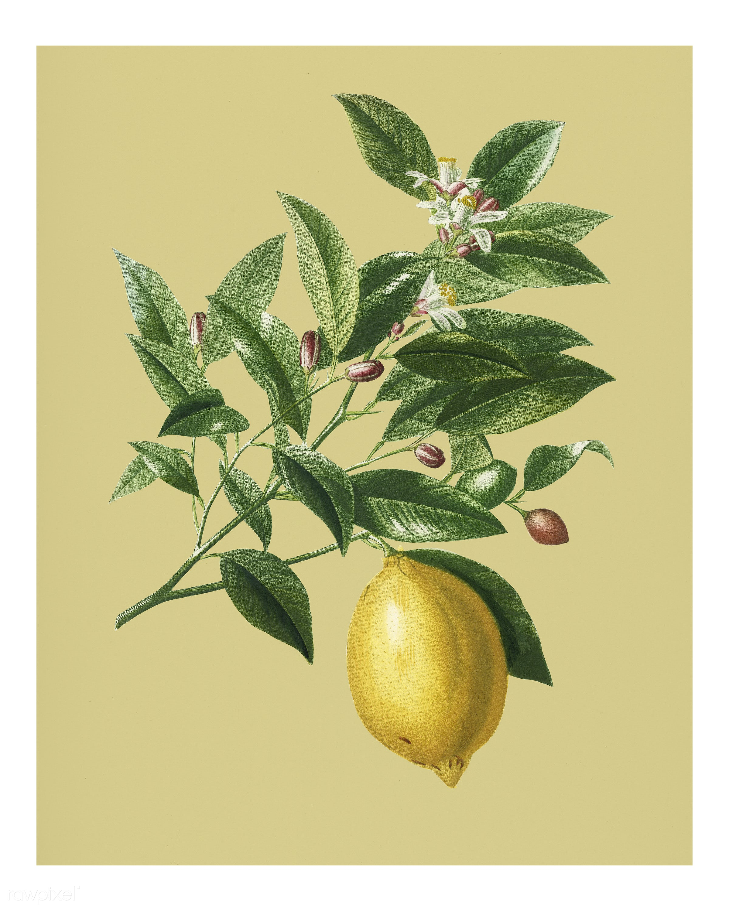 Lemon (Citrus Limonium) illustrated by Charles Dessalines D' Orbigny (1806-1876). Digitally enhanced from our own 1892...