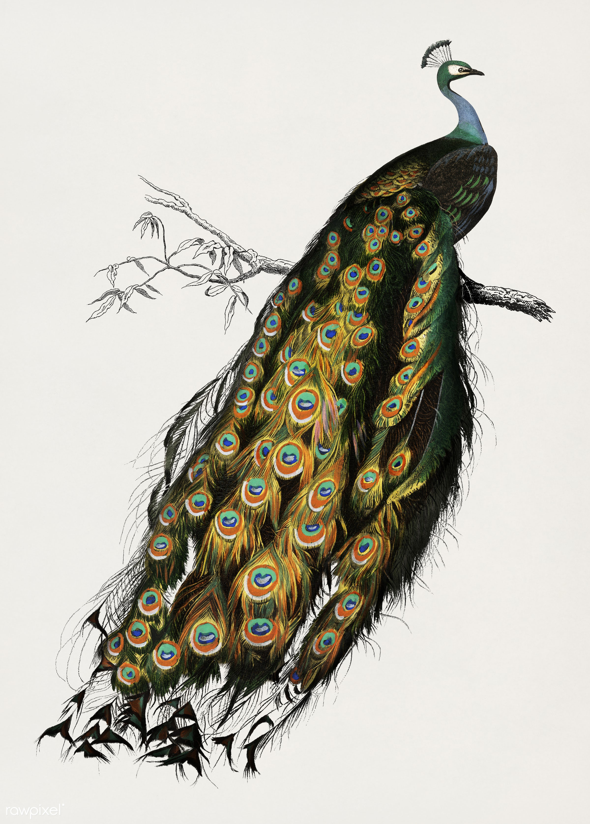 Indian peafowl (Pavo Cristatus) illustrated by Charles Dessalines D' Orbigny (1806-1876). Digitally enhanced from our...