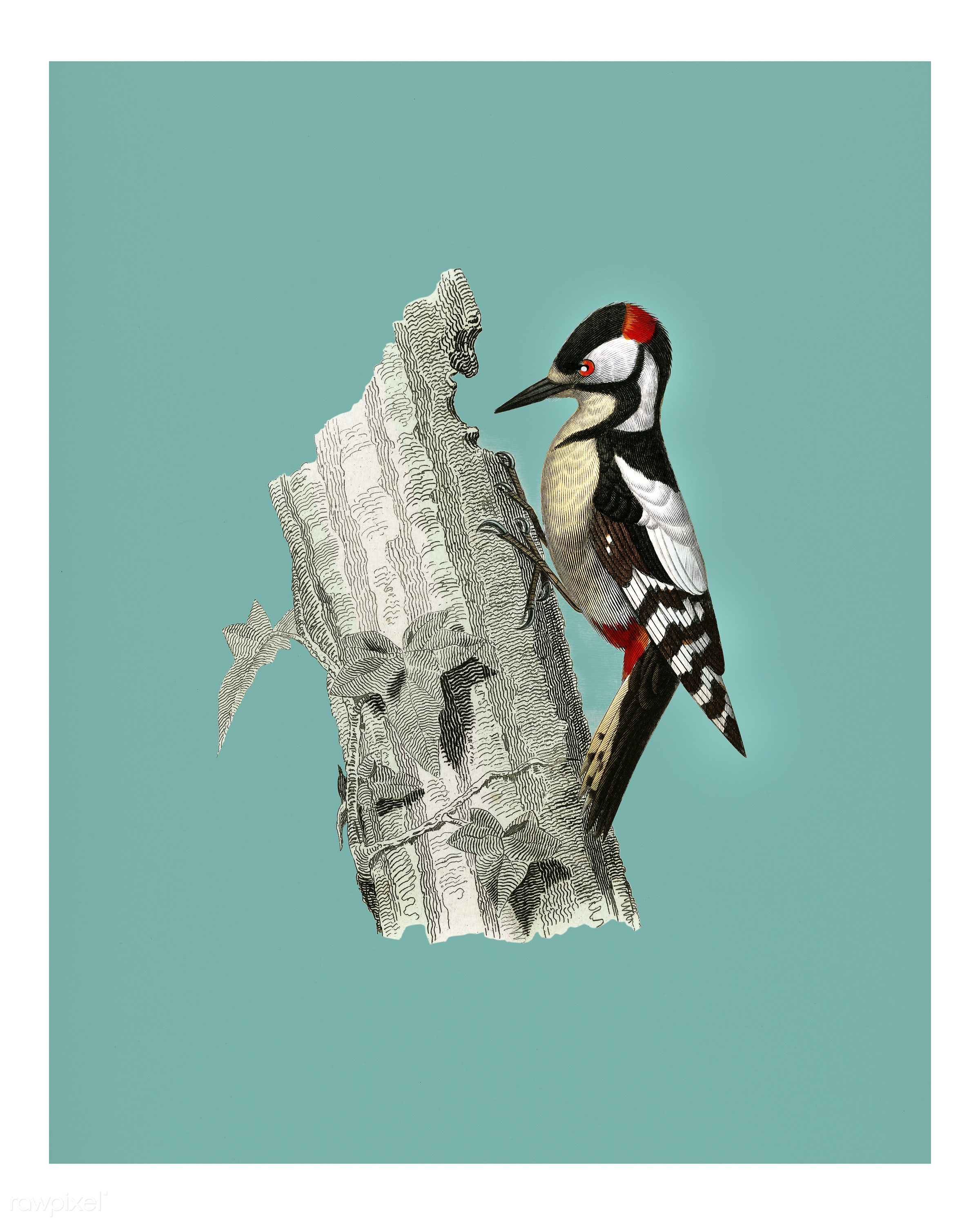 Great spotted woodpecker (Picus major) illustrated by Charles Dessalines D' Orbigny (1806-1876). Digitally enhanced from...