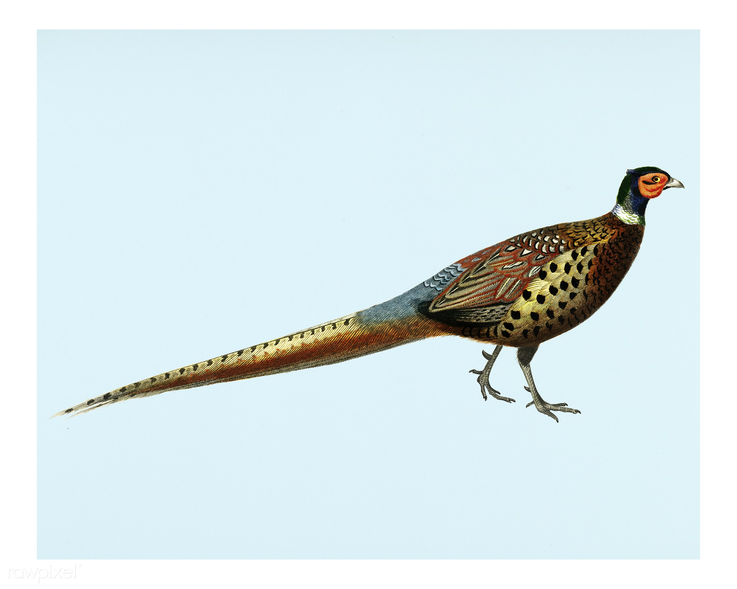 Ring-necked pheasant (Phasianus colchicus) illustrated by Charles Dessalines D' Orbigny (1806-1876). Digitally enhanced...