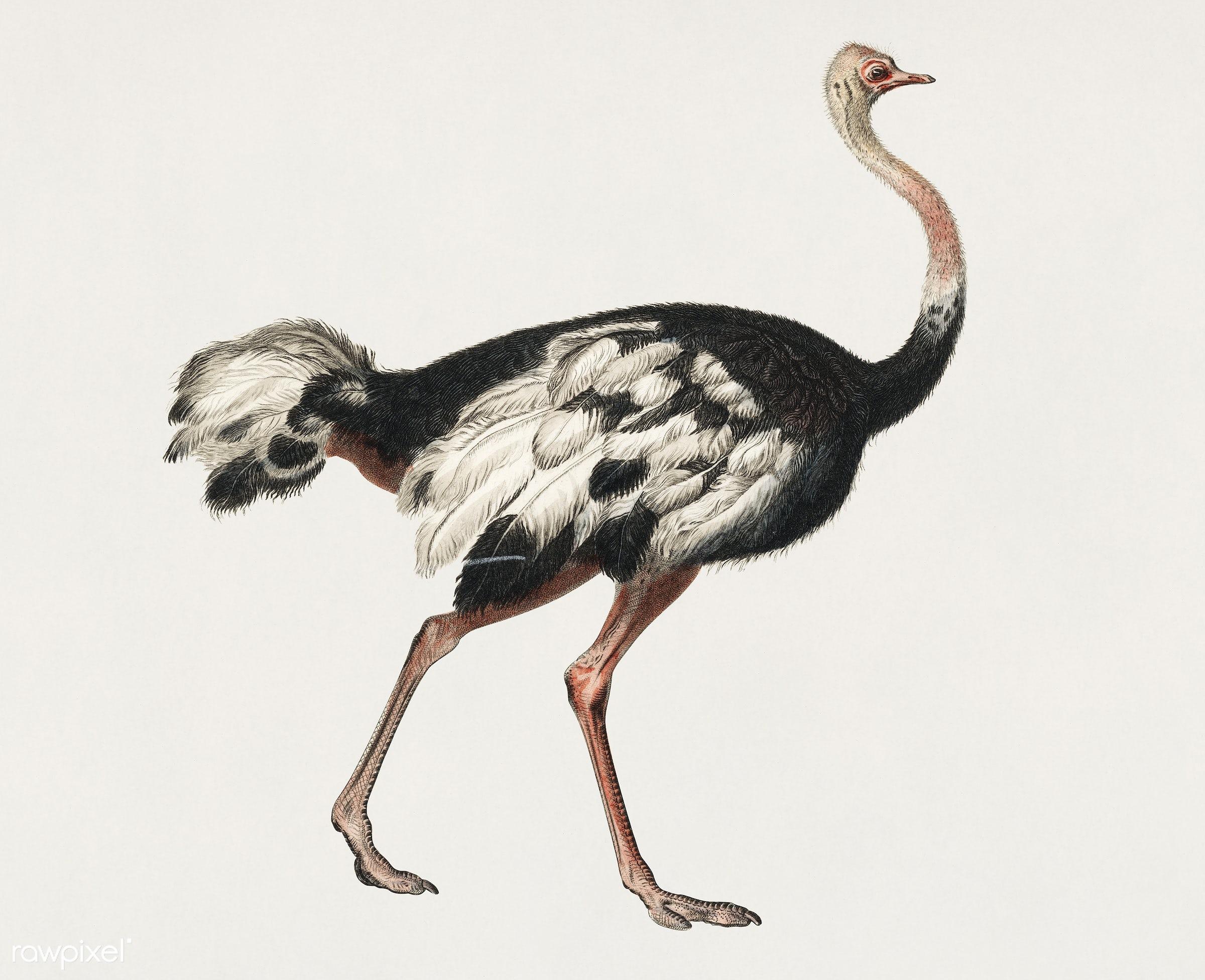 Vintage Illustration of Common ostrich (Struthio camelus) - bird, ostrich, ancient, animal, antique, artwork, autruche de...