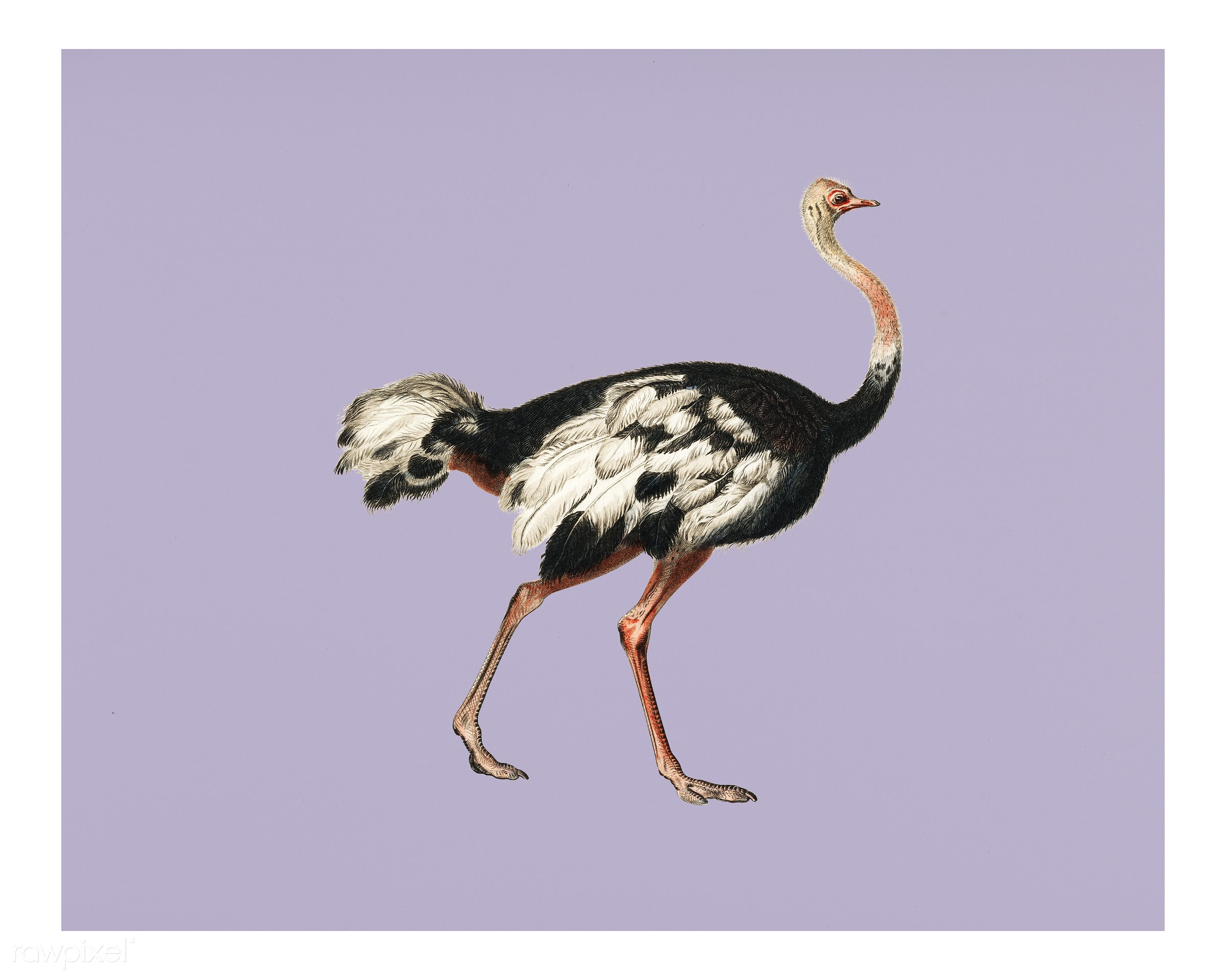 Common ostrich (Struthio camelus) illustrated by Charles Dessalines D' Orbigny (1806-1876). Digitally enhanced from our...