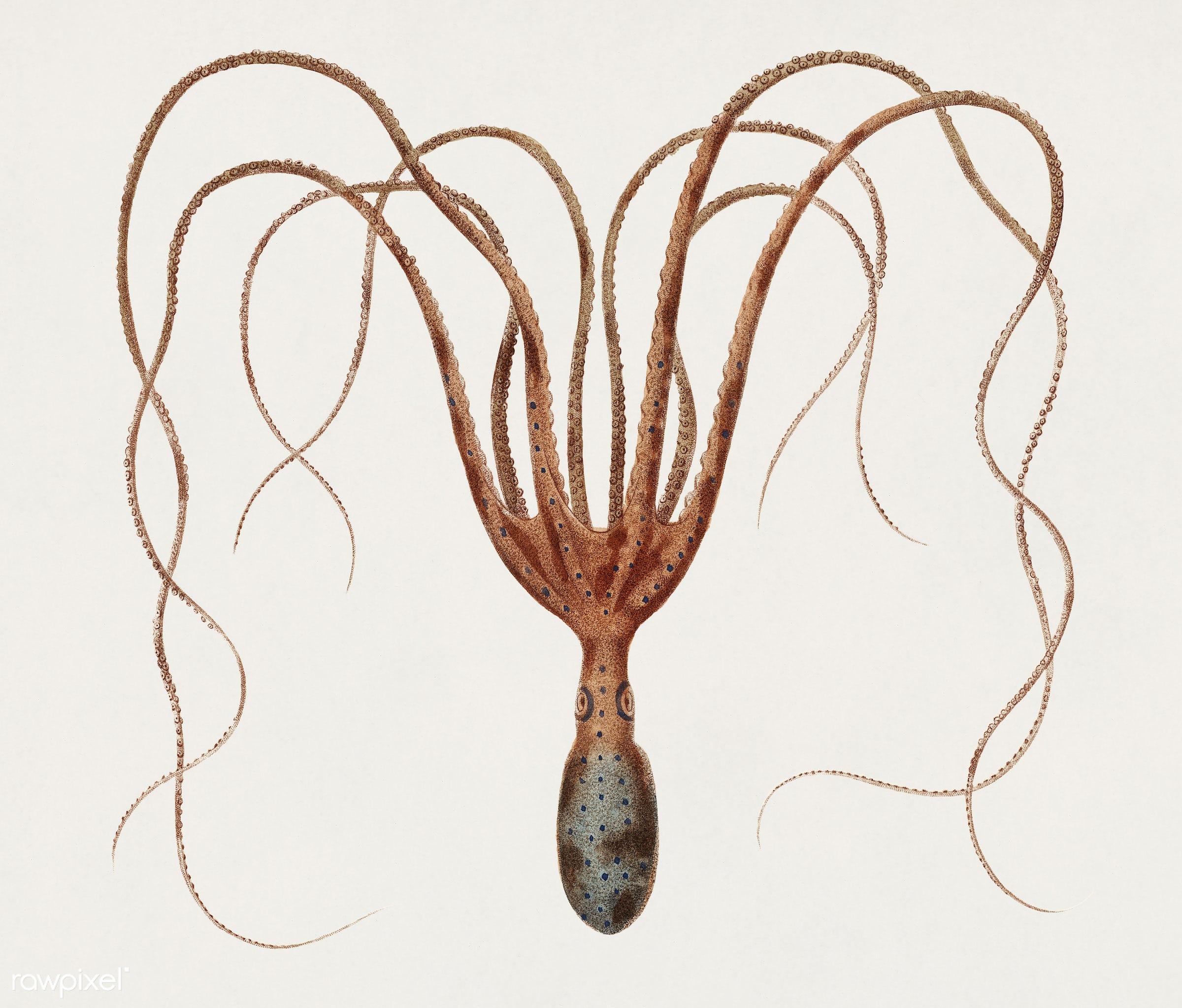 The common octopus (Octopus vulgaris) illustrated by Charles Dessalines D' Orbigny (1806-1876). Digitally enhanced from...