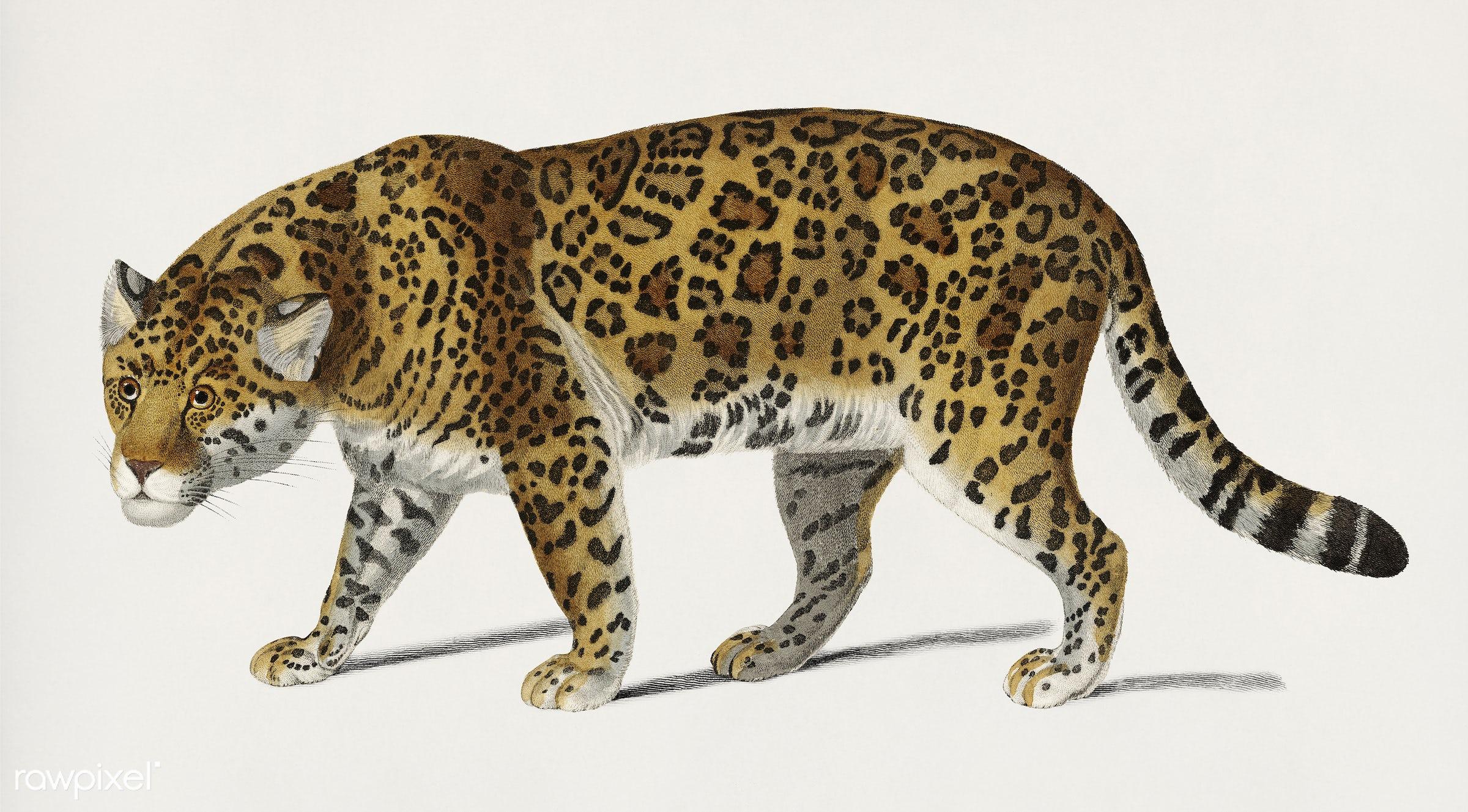 Vintage Illustration of Jaguar (Panthera Onca) - tiger, jaguar, ancient, animal, antique, artwork, big cat, charles, charles...
