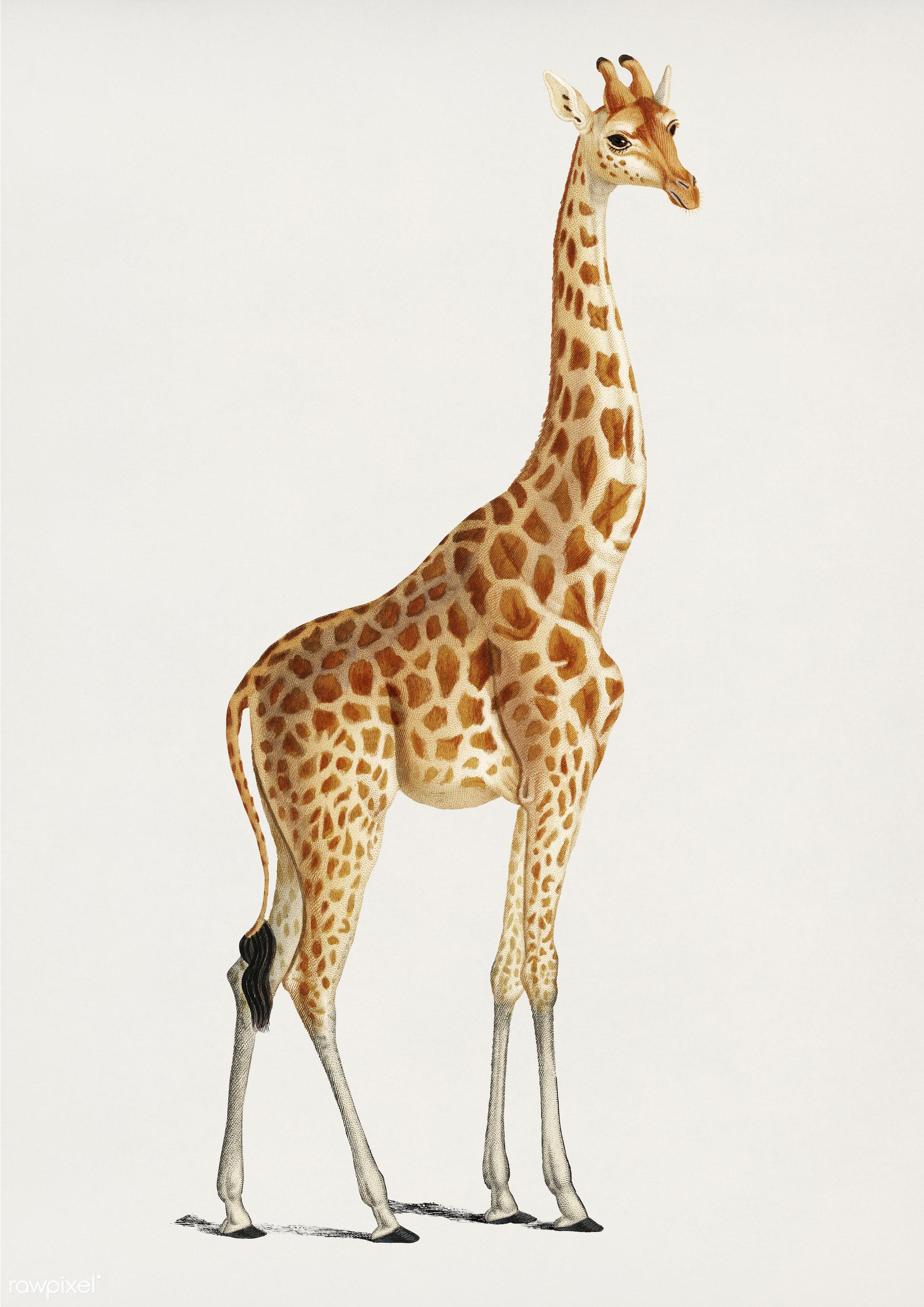 Vintage Illustration of Giraffe (Giraffa camelopardalis) - giraffe, animal, drawing, ancient, antique, artwork, charles,...