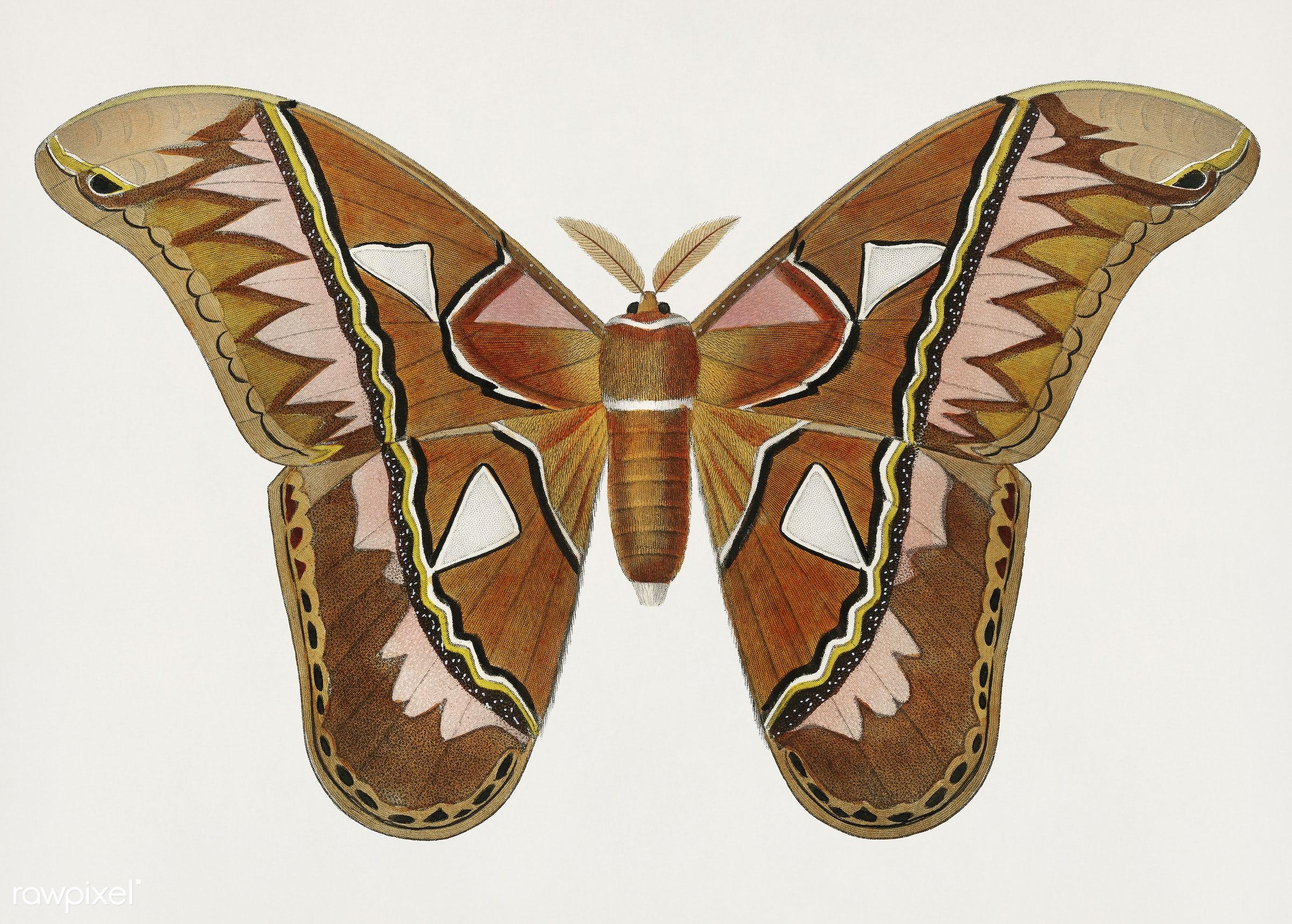 Vintage Illustration of Attacus Atlas Moth (Attacus Aurora) - ancient, animal, antique, artwork, attacus, attacus atlas moth...