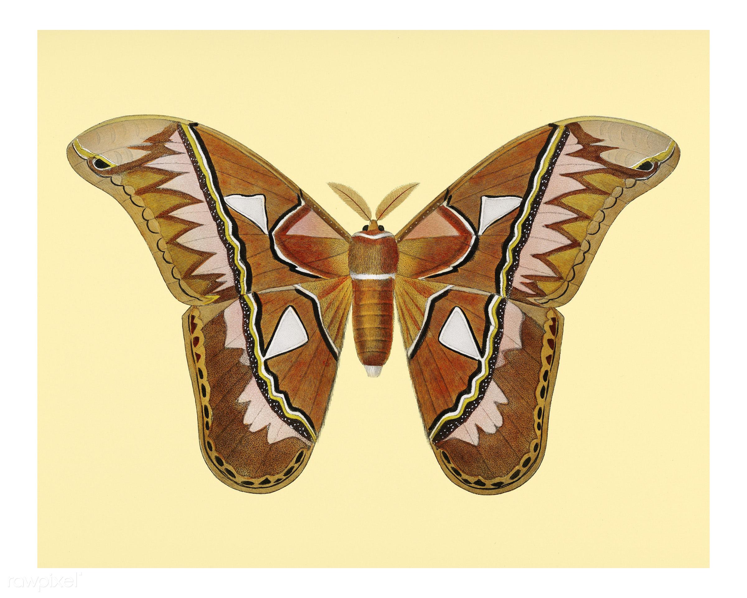 Attacus Atlas Moth (Attacus Aurora) illustrated by Charles Dessalines D' Orbigny (1806-1876). Digitally enhanced from...