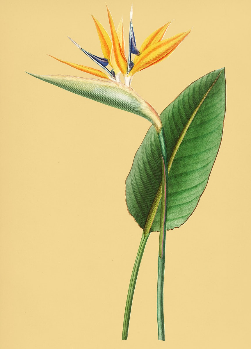 Vintage Illustration of Bird of paradise.