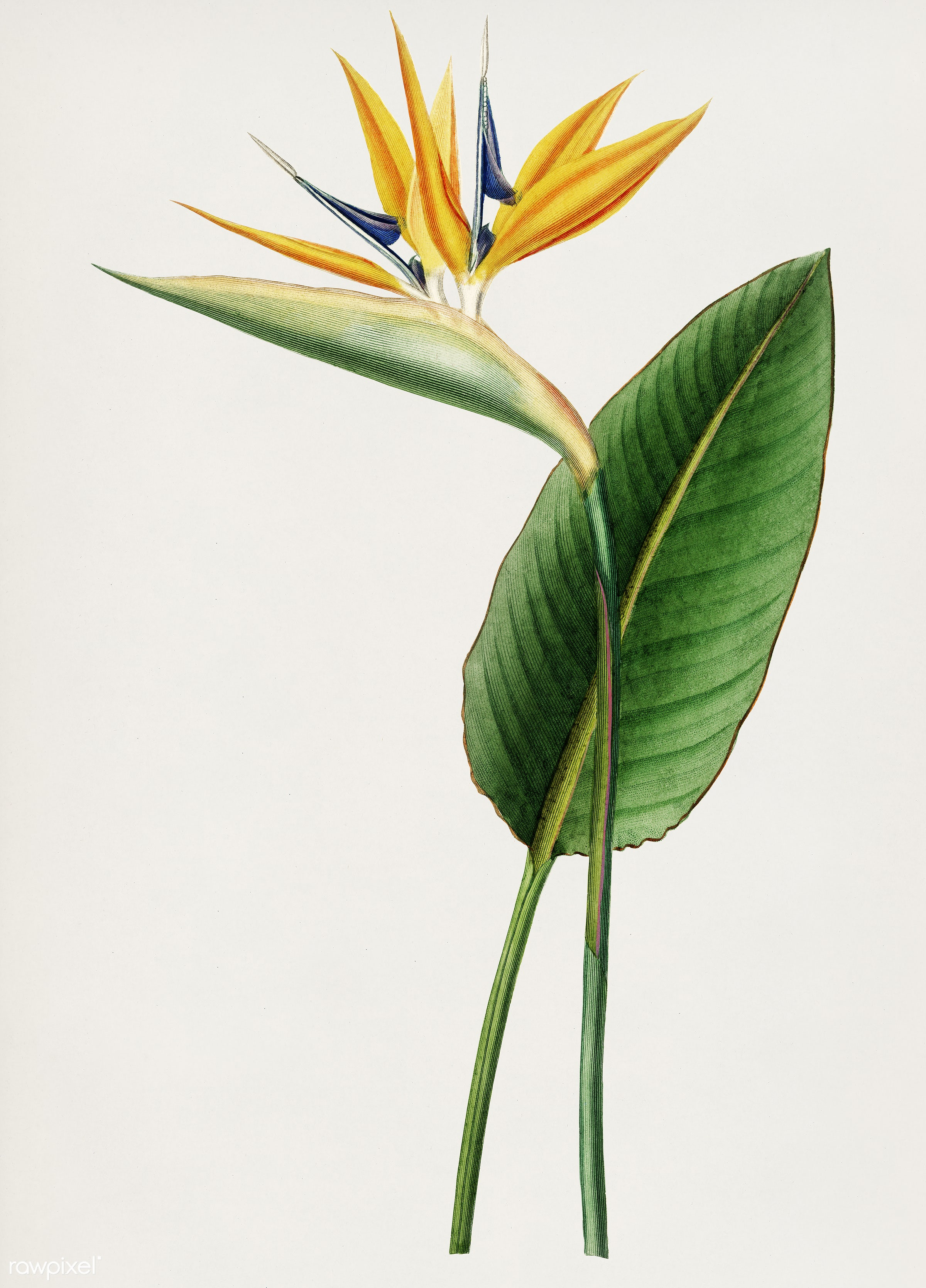 Bird of paradise (Strelitzia Reginae) illustrated by Charles Dessalines D' Orbigny (1806-1876). Digitally enhanced from...