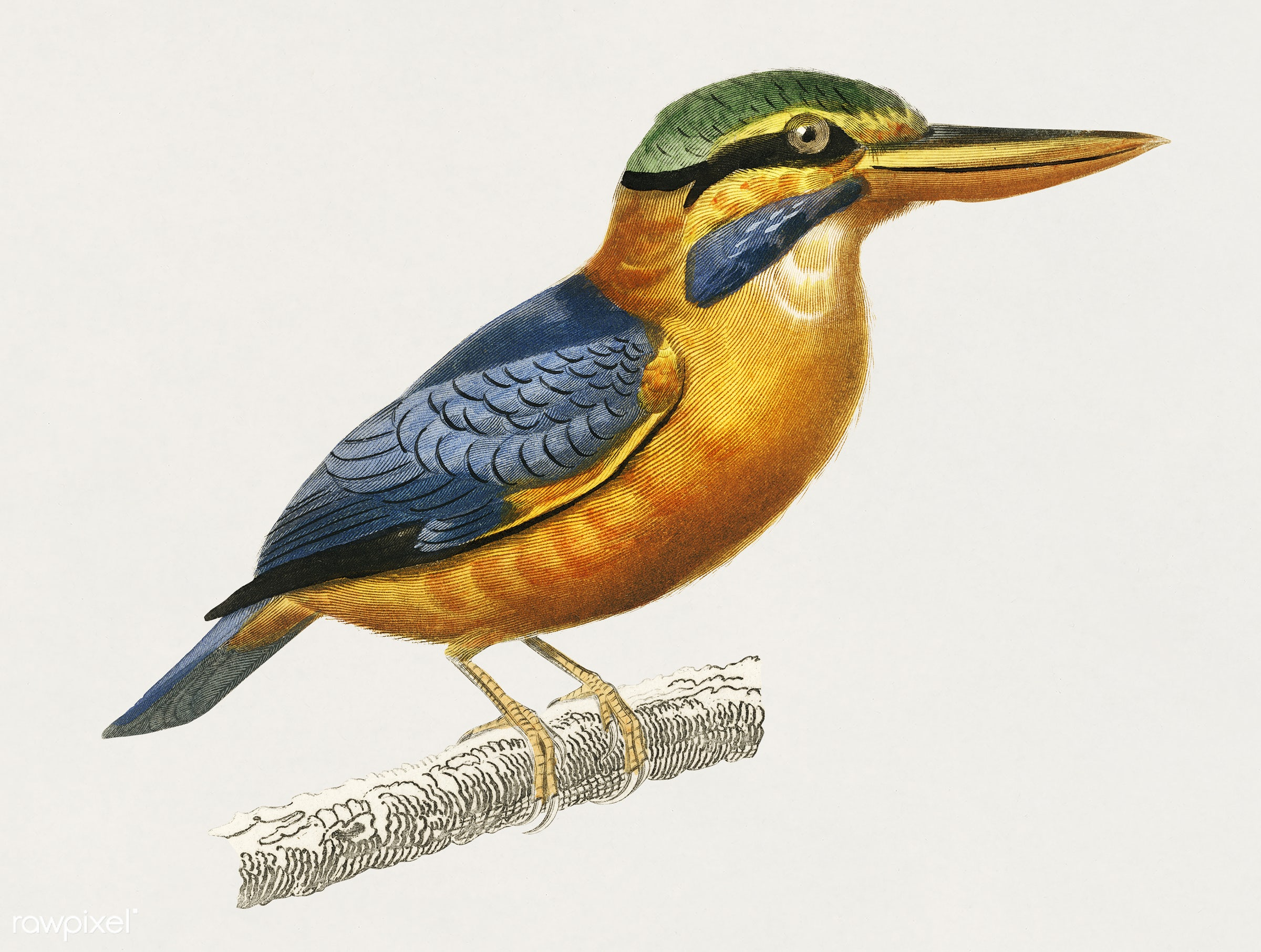 Rufous-collared kingfisher (Martin chasseur trapu) illustrated by Charles Dessalines D' Orbigny (1806-1876). Digitally...