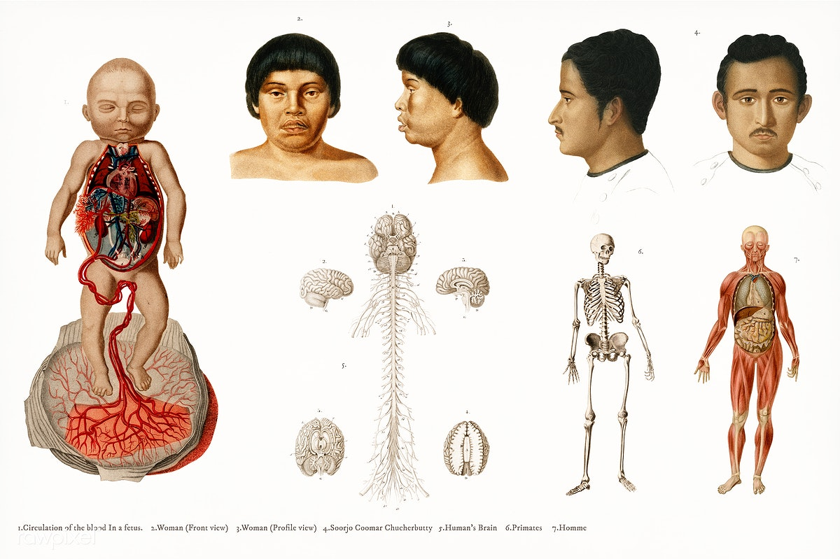 Human Anatomy Illustrated By Charles Dessalin Royalty Free Stock