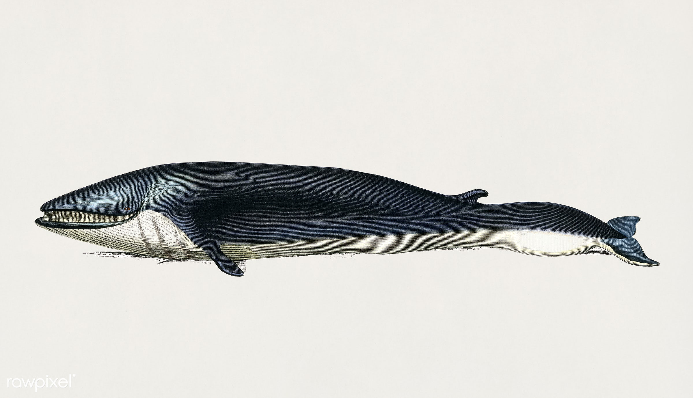 Balaenoptera rorqual illustrated by Charles Dessalines D' Orbigny (1806-1876). Digitally enhanced from our own 1892...