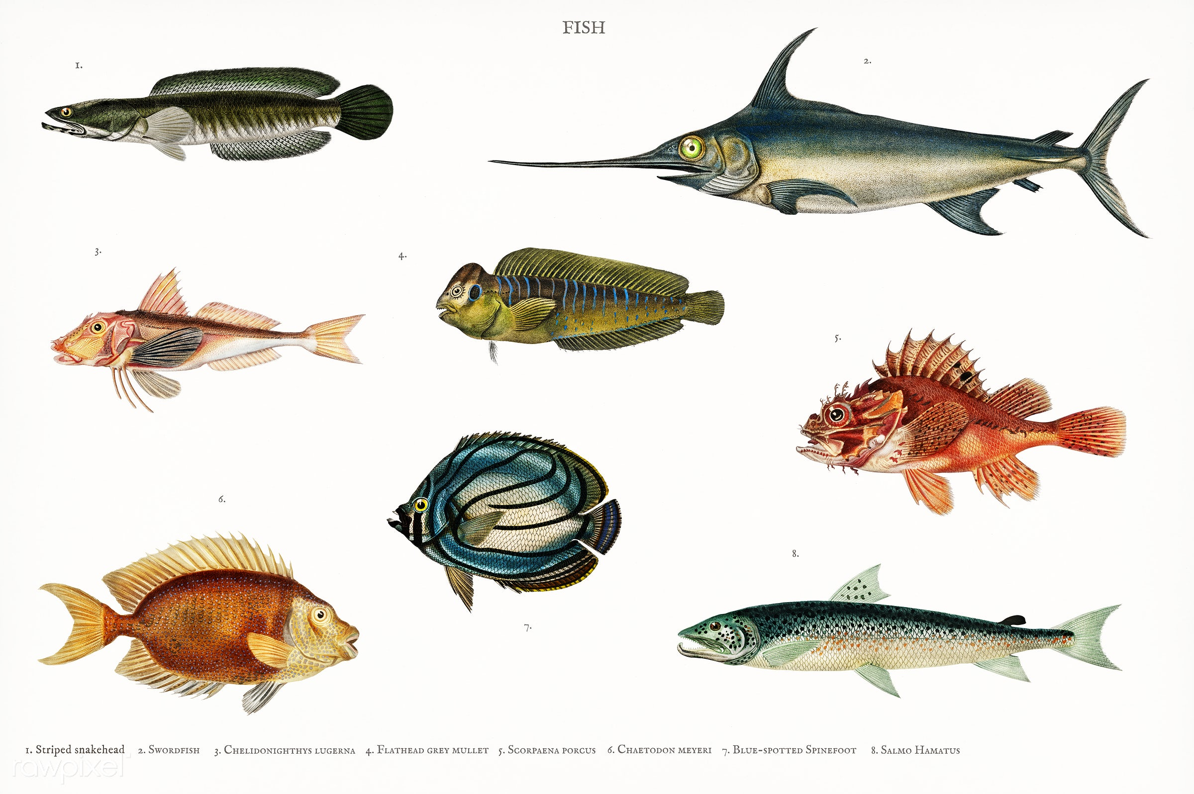Different types of fishes illustrated by Charles Dessalines D' Orbigny (1806-1876) Digitally enhanced from our own 1892...