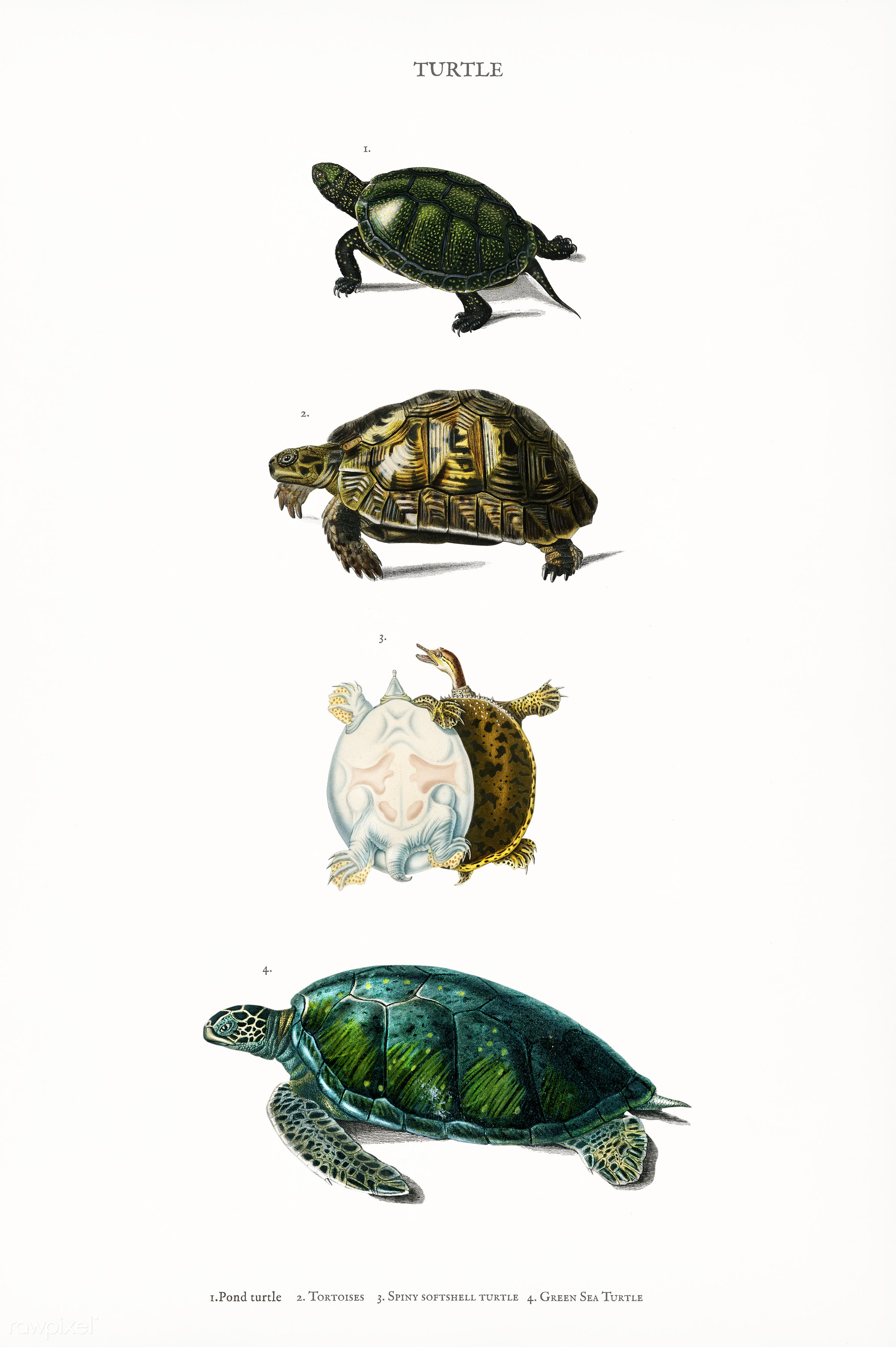 Different types of turtles illustrated by Charles Dessalines D' Orbigny (1806-1876). Digitally enhanced from our own...