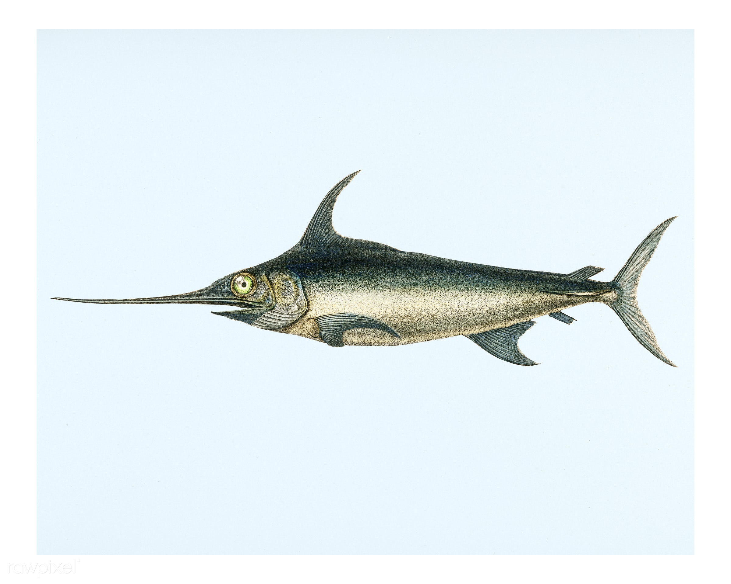 Swordfish (Xiphias gladius) illustrated by Charles Dessalines D' Orbigny (1806-1876). Digitally enhanced from our own...