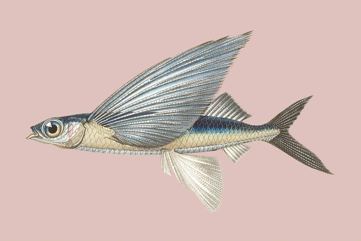 Vintage Illustration of Stropical two wing flying fish.