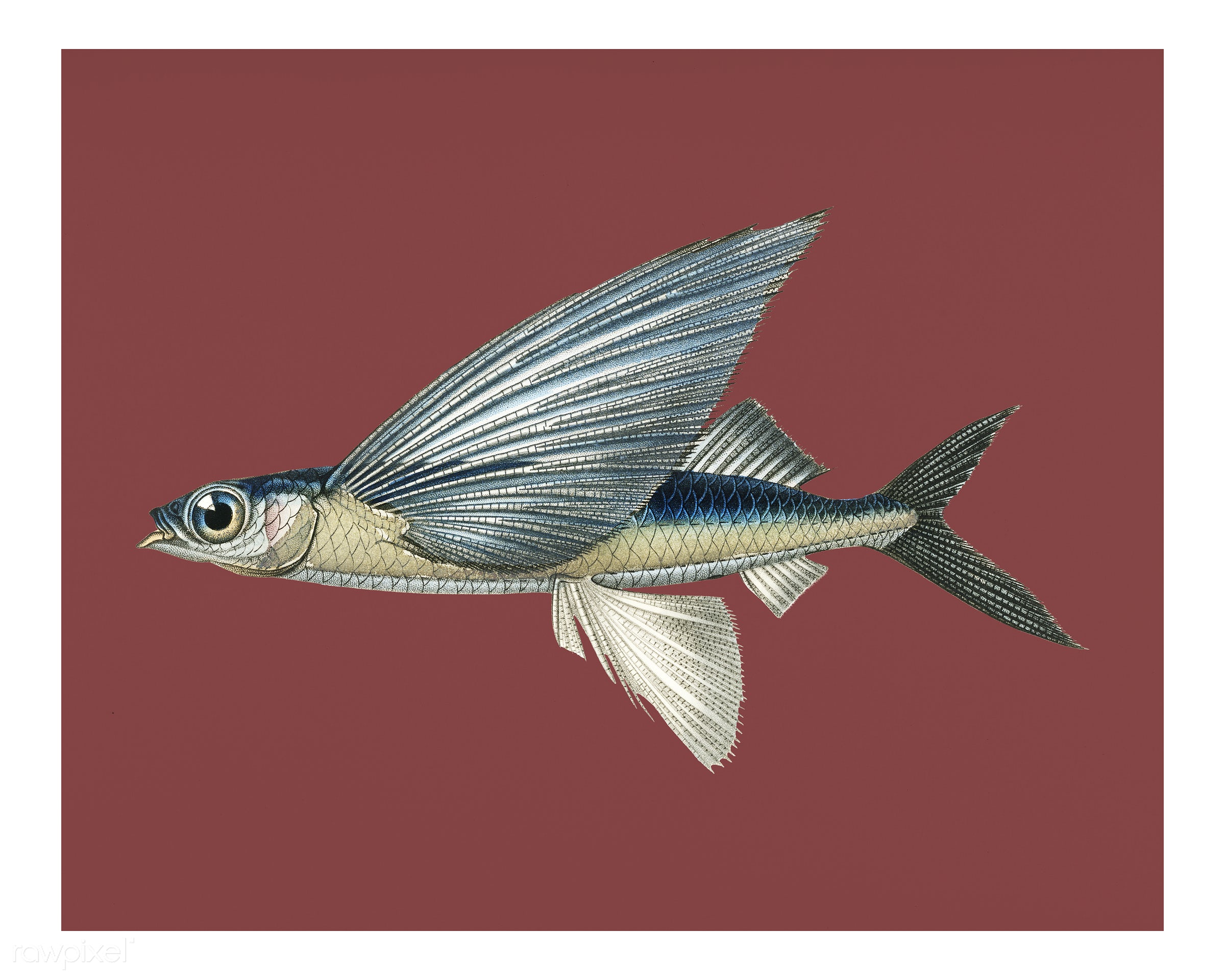 Tropical two wing flying fish (Exocoetus Volitan) illustrated by Charles Dessalines D' Orbigny (1806-1876). Digitally...