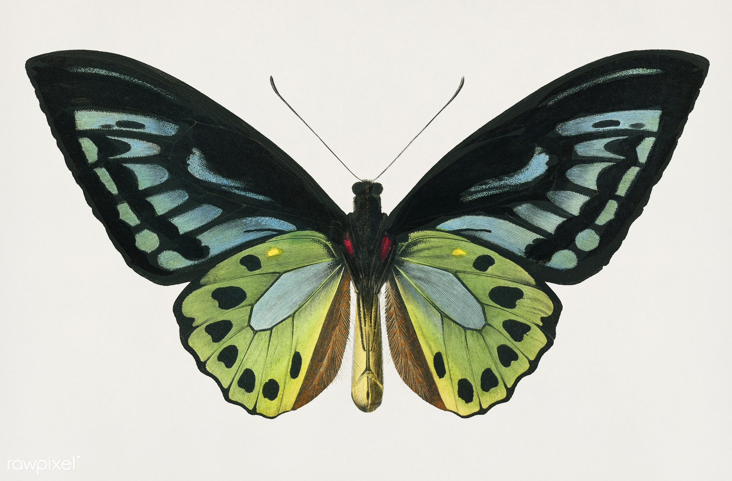 Vintage Illustration of Green birdwing (Ornithoptera priamus) - butterfly, orbigny, ornithoptera priamus, ancient, animal,...