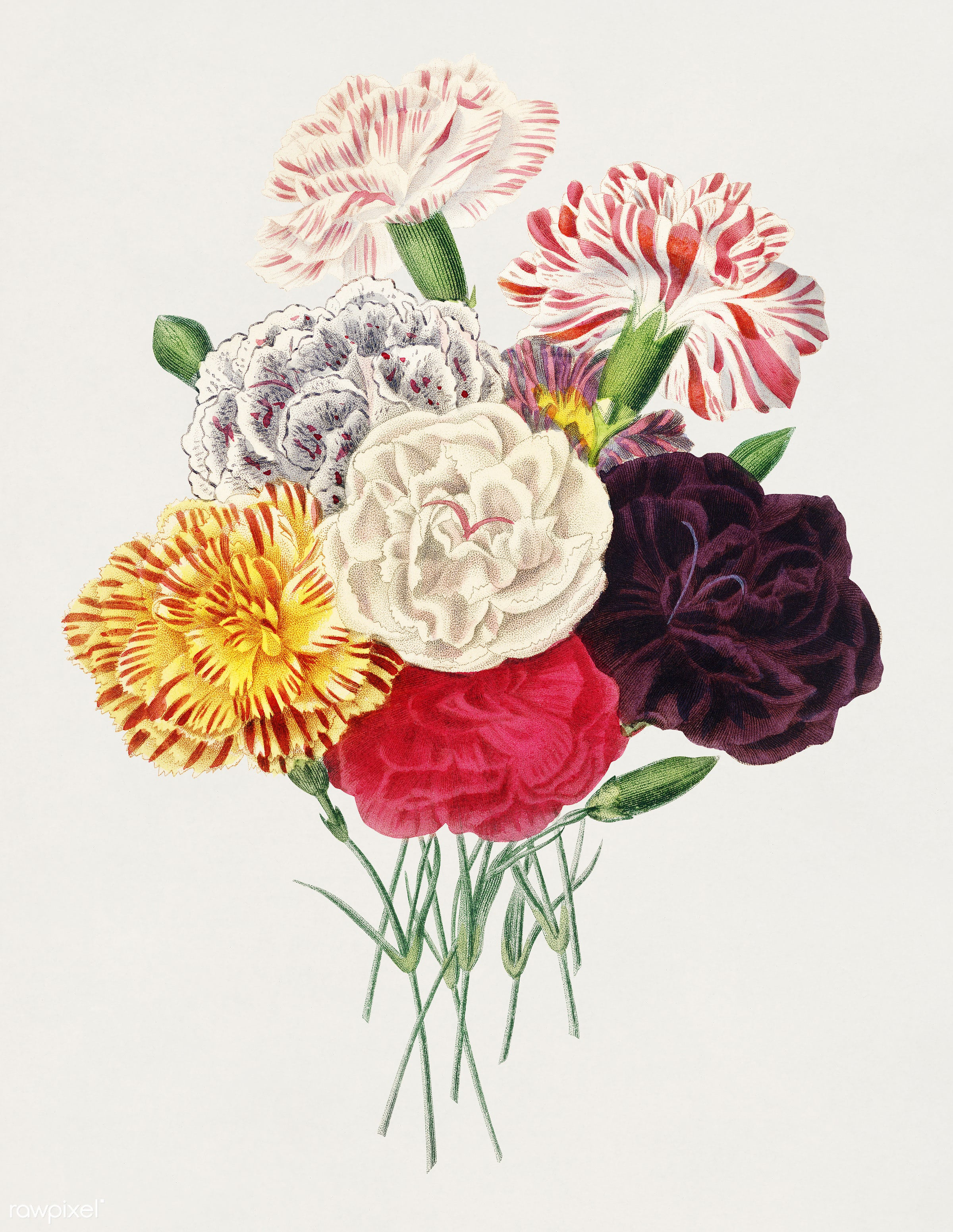 Carnation (Dianthus caryophyllus) illustrated by Charles Dessalines D' Orbigny (1806-1876). Digitally enhanced from our...