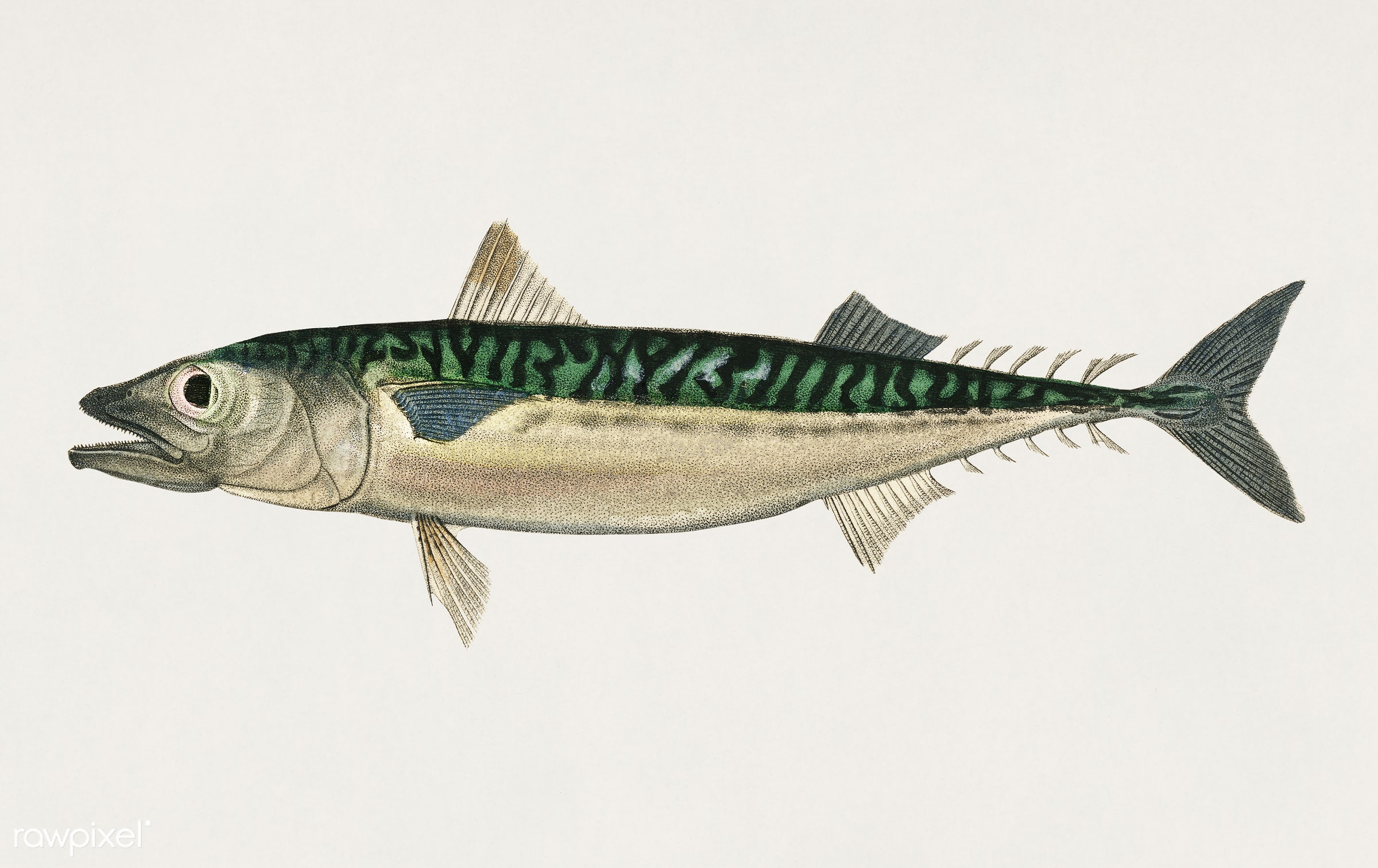 Chub mackerel (Scomber colias) illustrated by Charles Dessalines D' Orbigny (1806-1876). Digitally enhanced from our own...