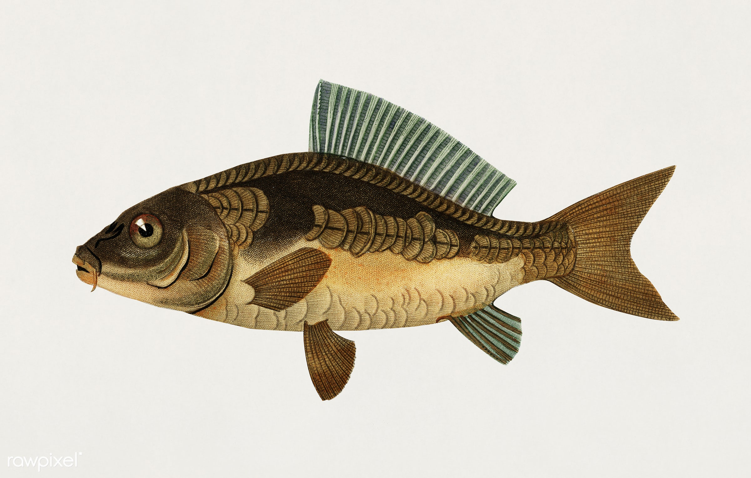 Cyprinus Carpio illustrated by Charles Dessalines D' Orbigny (1806-1876). Digitally enhanced from our own 1892 edition...