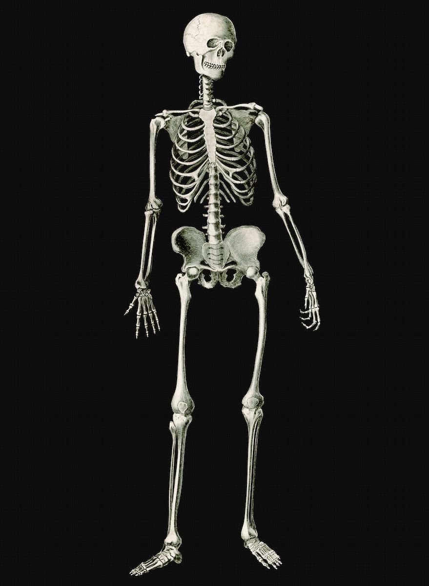 Vintage Illustration of Human skeleton
