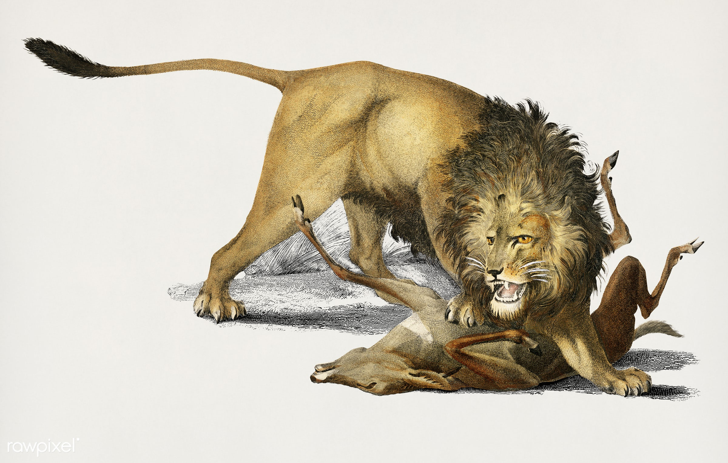 Lion (Panthera Leo) illustrated by Charles Dessalines D' Orbigny (1806-1876). Digitally enhanced from our own 1892...