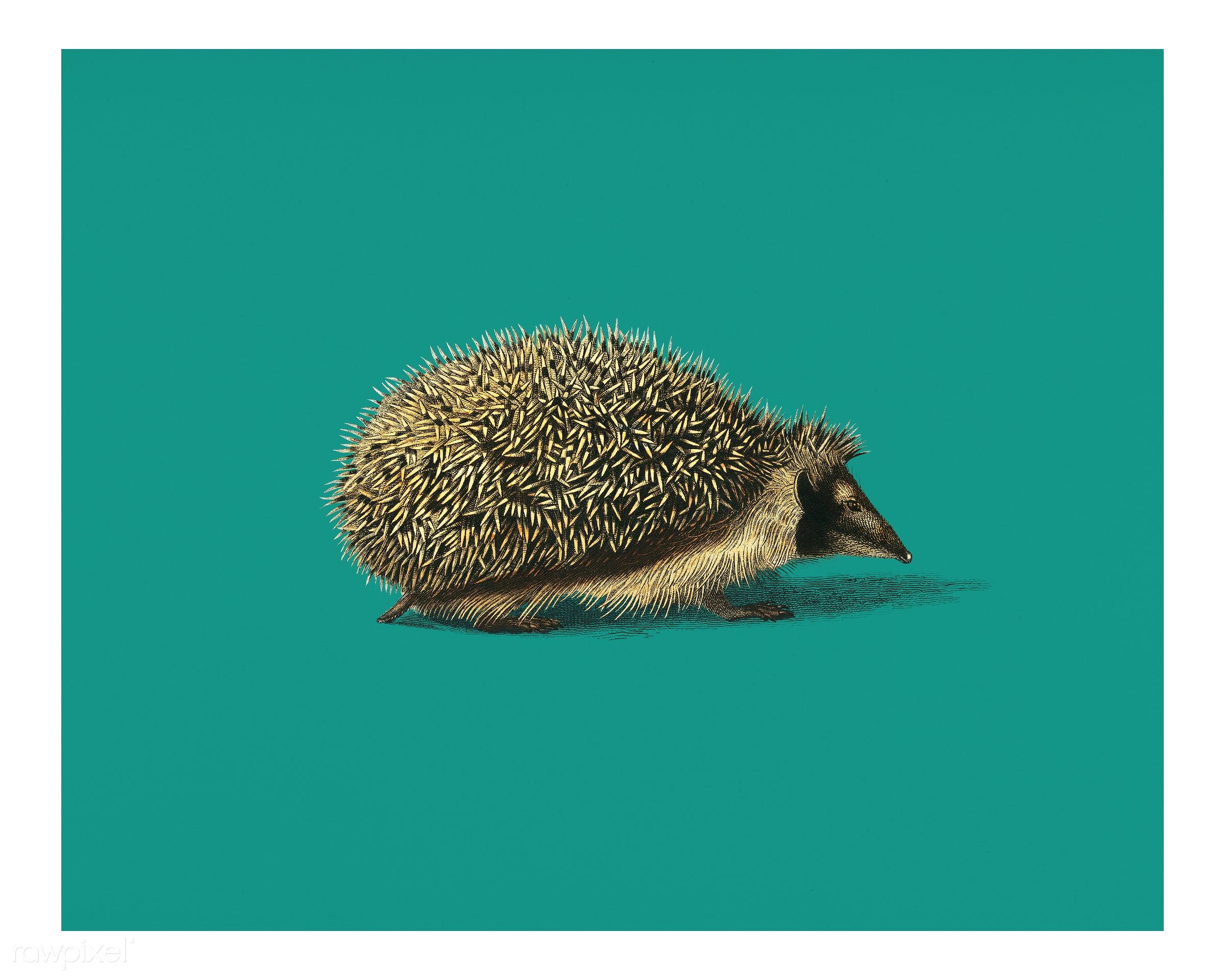 European Hedgehog (Erinaceus Europaeus) illustrated by Charles Dessalines D' Orbigny (1806-1876). Digitally enhanced...