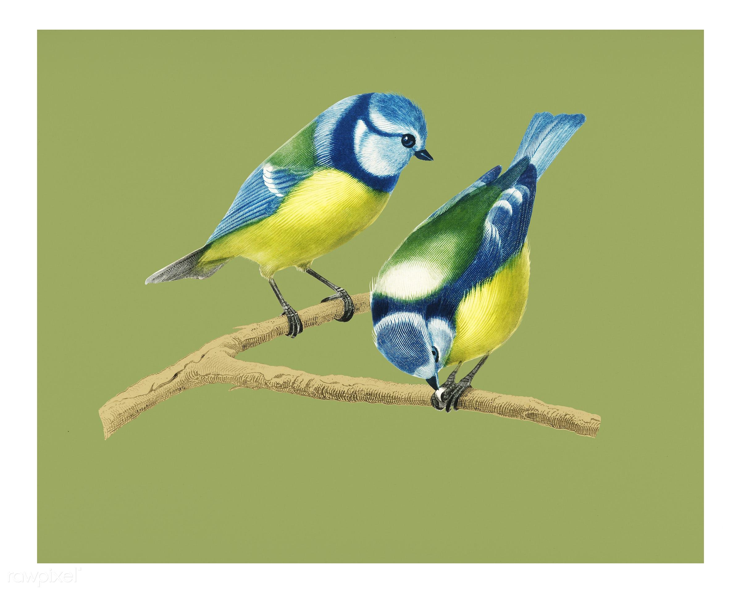 Eurasian blue tit (Cyanistes Caeruleus) illustrated by Charles Dessalines D' Orbigny (1806-1876). Digitally enhanced...