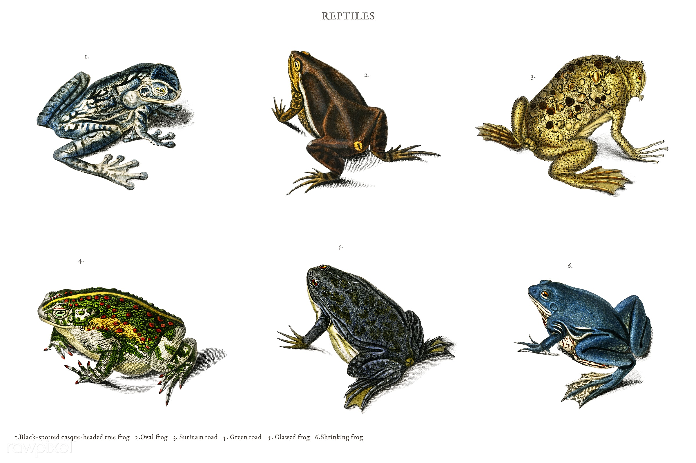 Different types of frogs illustrated by Charles Dessalines D' Orbigny (1806-1876). Digitally enhanced from our own 1892...