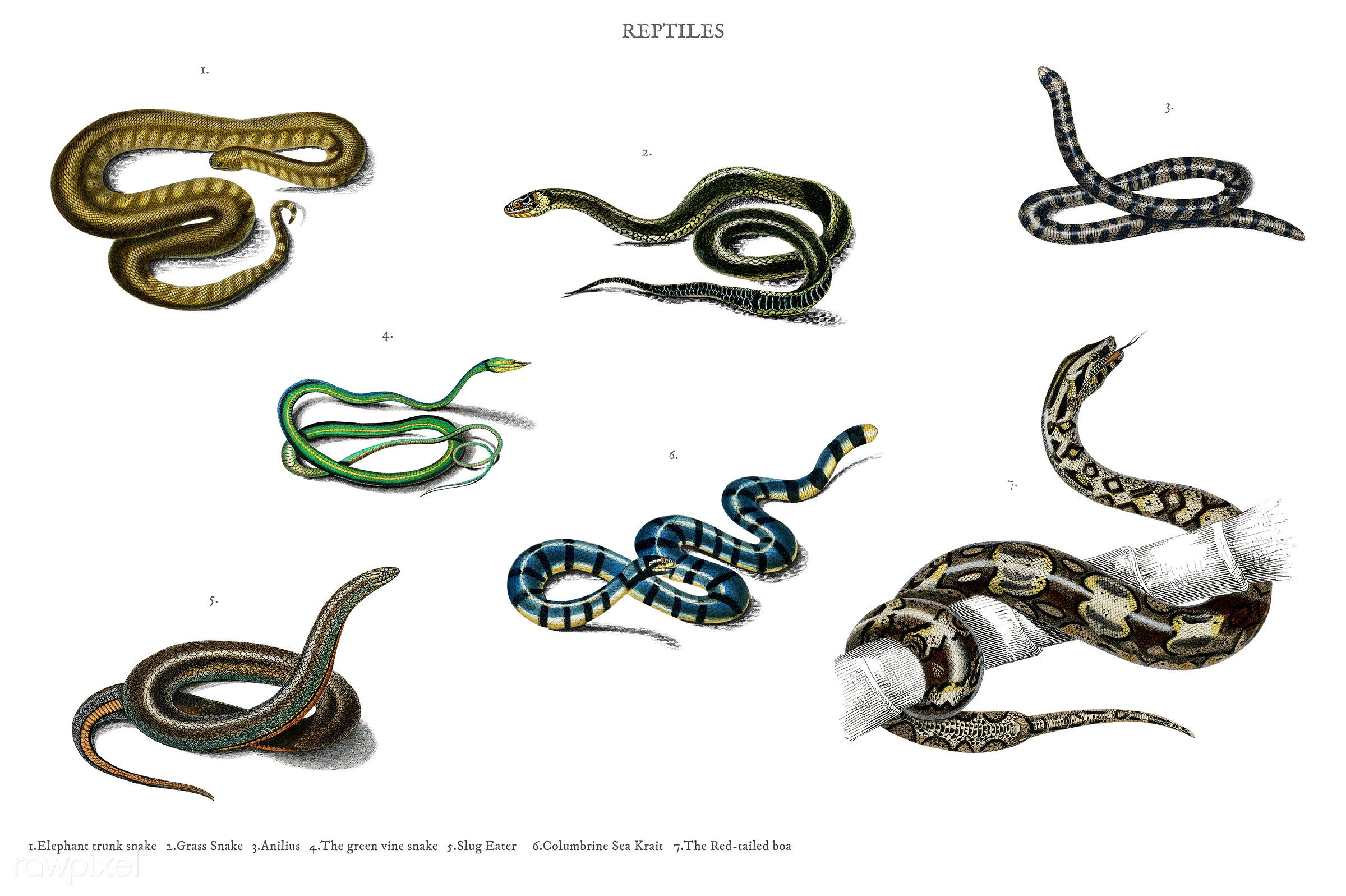 Different types of snakes illustrated by Charles Dessalines D' Orbigny (1806-1876). Digitally enhanced from our own 1892...
