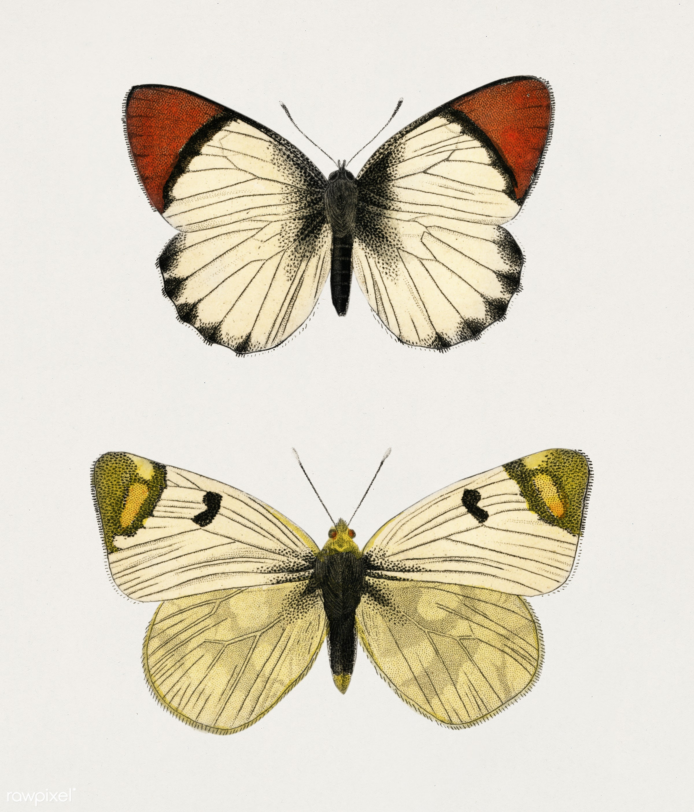 Anthocharis eupompe and Zegris eupheme illustrated by Charles Dessalines D' Orbigny (1806-1876). Digitally enhanced from...