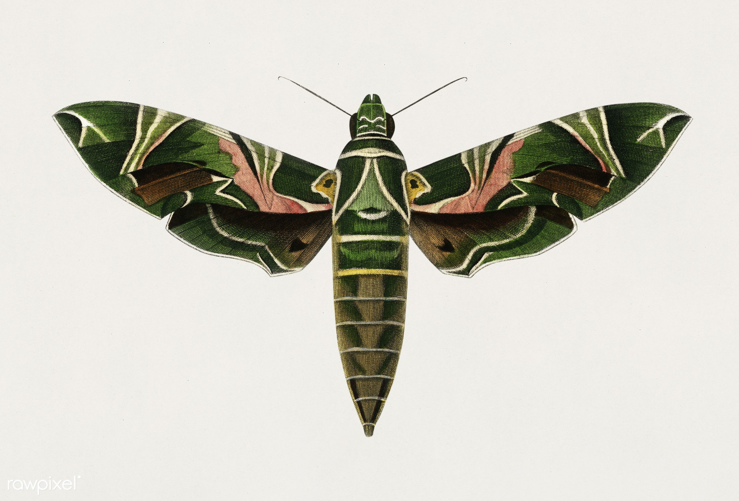 Oleander hawk-moth (daphnis nerii) illustrated by Charles Dessalines D' Orbigny (1806-1876). Digitally enhanced from our...