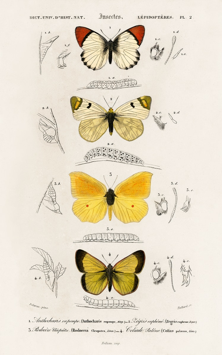 Different types of butterfly illustrated by Charles Dessalines D' Orbigny (1806-1876). Digitally enhanced from our own 1892…