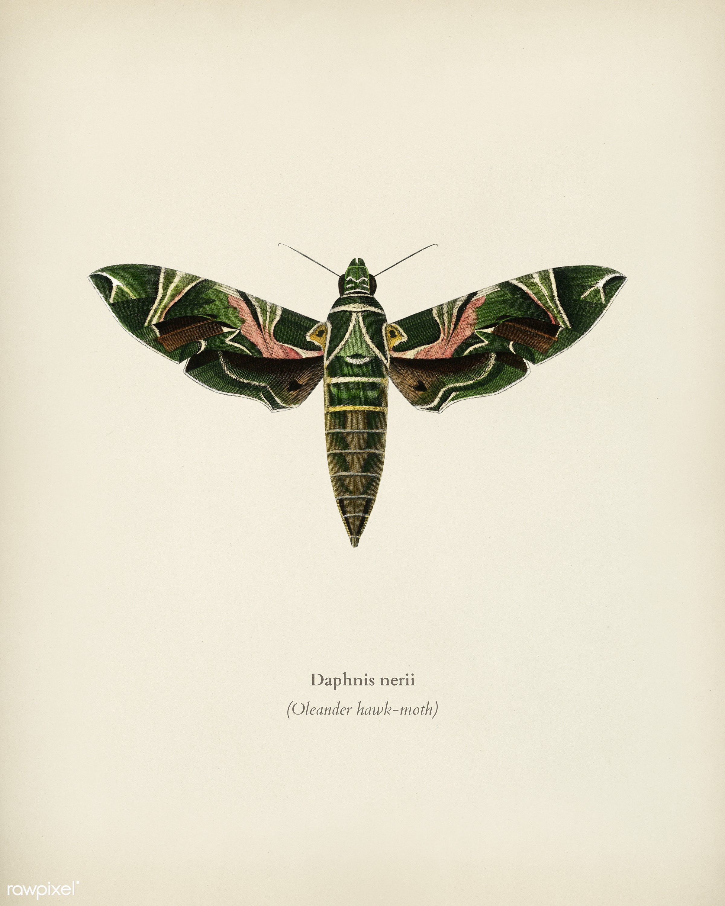Oleander hawk-moth (daphnis nerii) illustrated by Charles Dessalines D' Orbigny (1806-1876). Digitally enhanced from our...