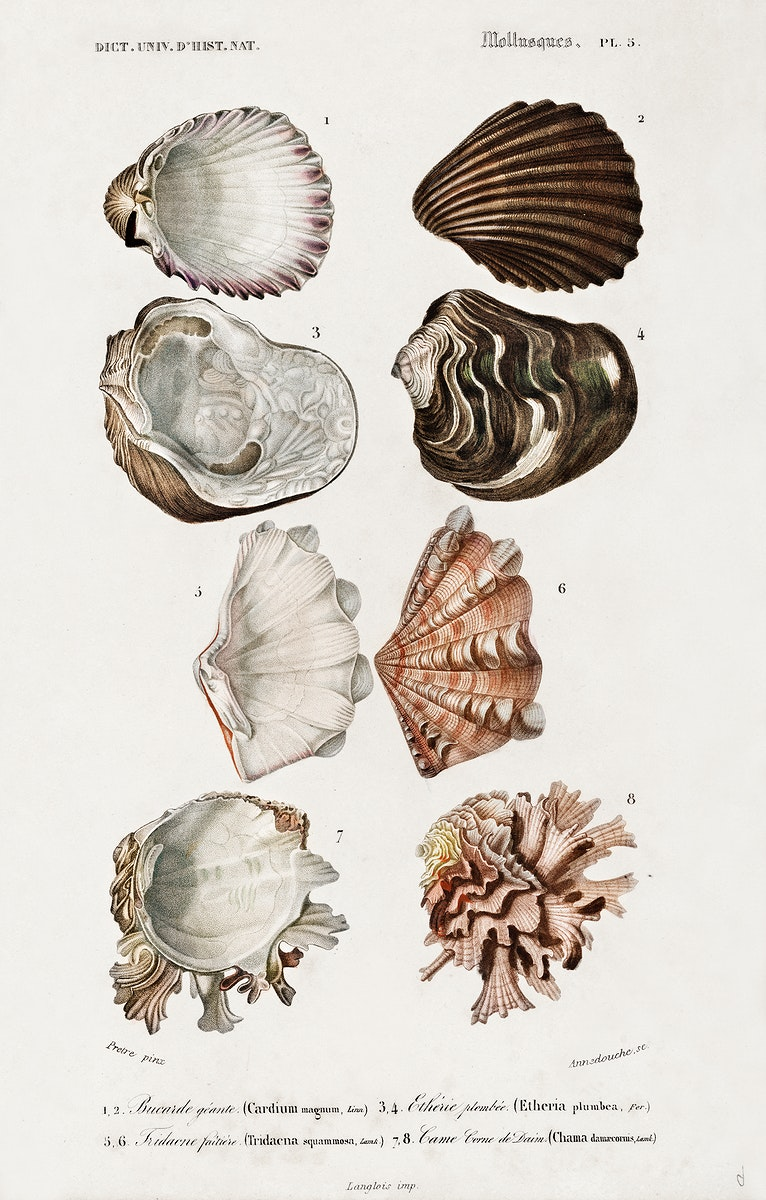 Different types of mollusks illustrated byCharles Dessalines D' Orbigny (1806-1876). Digitally enhanced from our own 1892…