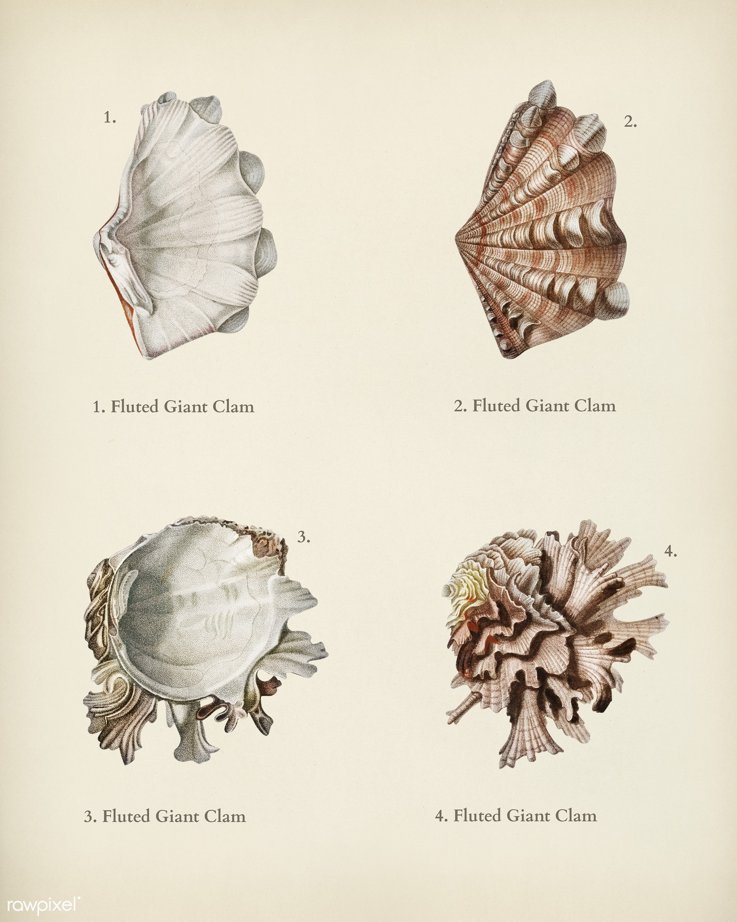 Fluted giant clam and Murex illustrated by Charles Dessalines D' Orbigny (1806-1876). Digitally enhanced from our own...
