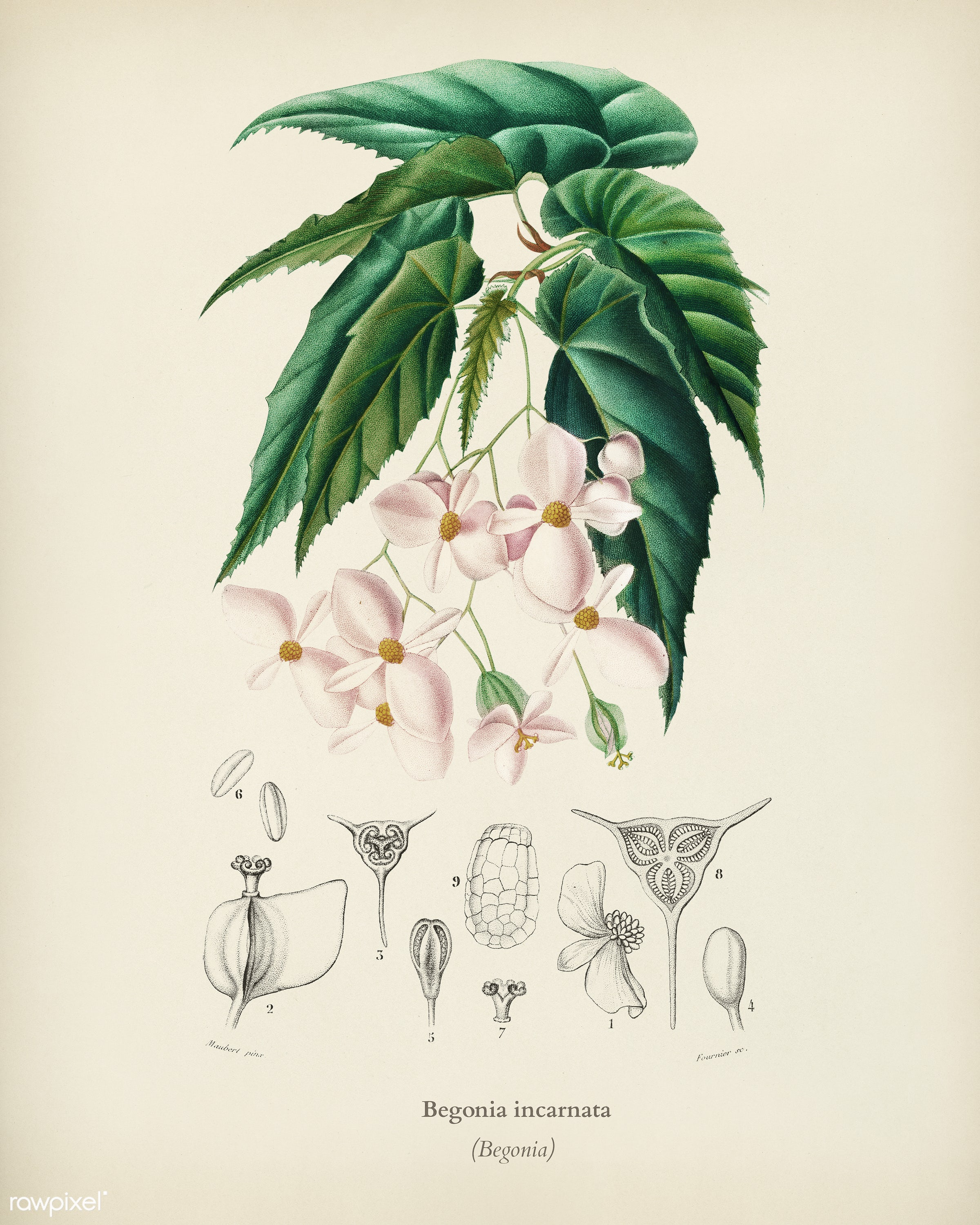 Begonia (Begonia incarnata) illustrated by Charles Dessalines D' Orbigny (1806-1876). Digitally enhanced from our own...