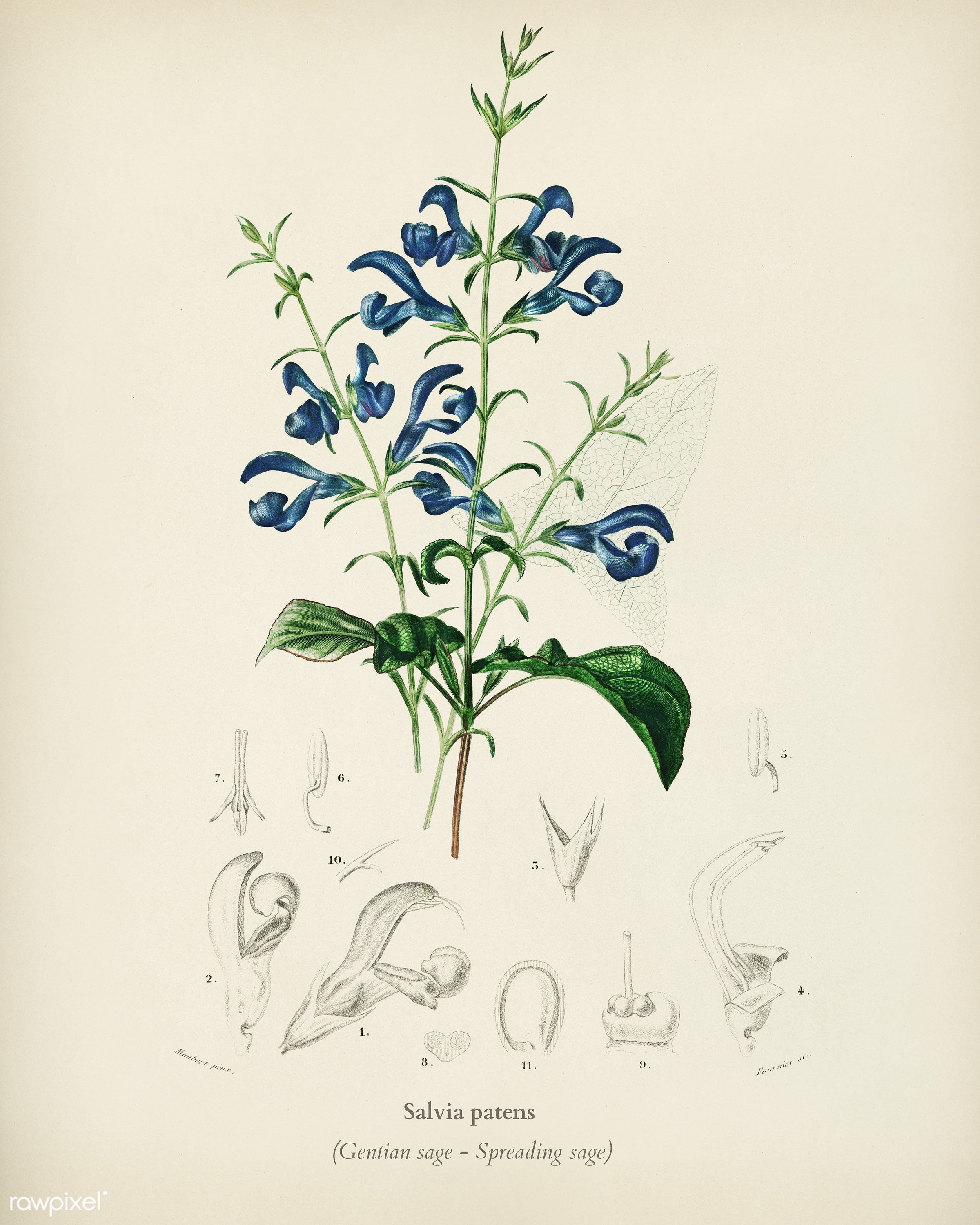 Salvia patens illustrated by Charles Dessalines D' Orbigny (1806-1876). Digitally enhanced from our own 1892 edition of...