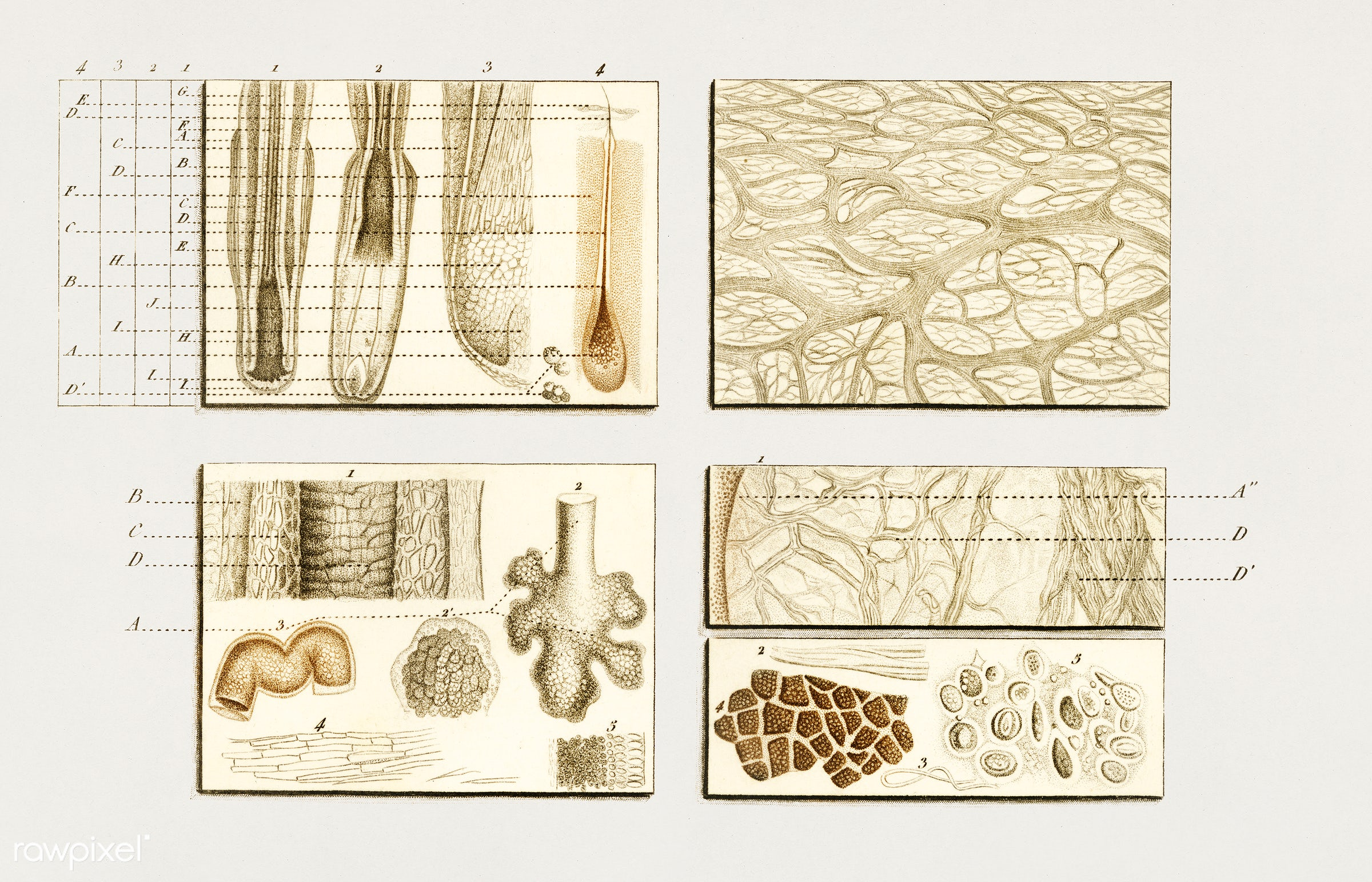 Collection of hand drawing of human skin structure illustrated by Charles Dessalines D' Orbigny (1806-1876). - ancient,...