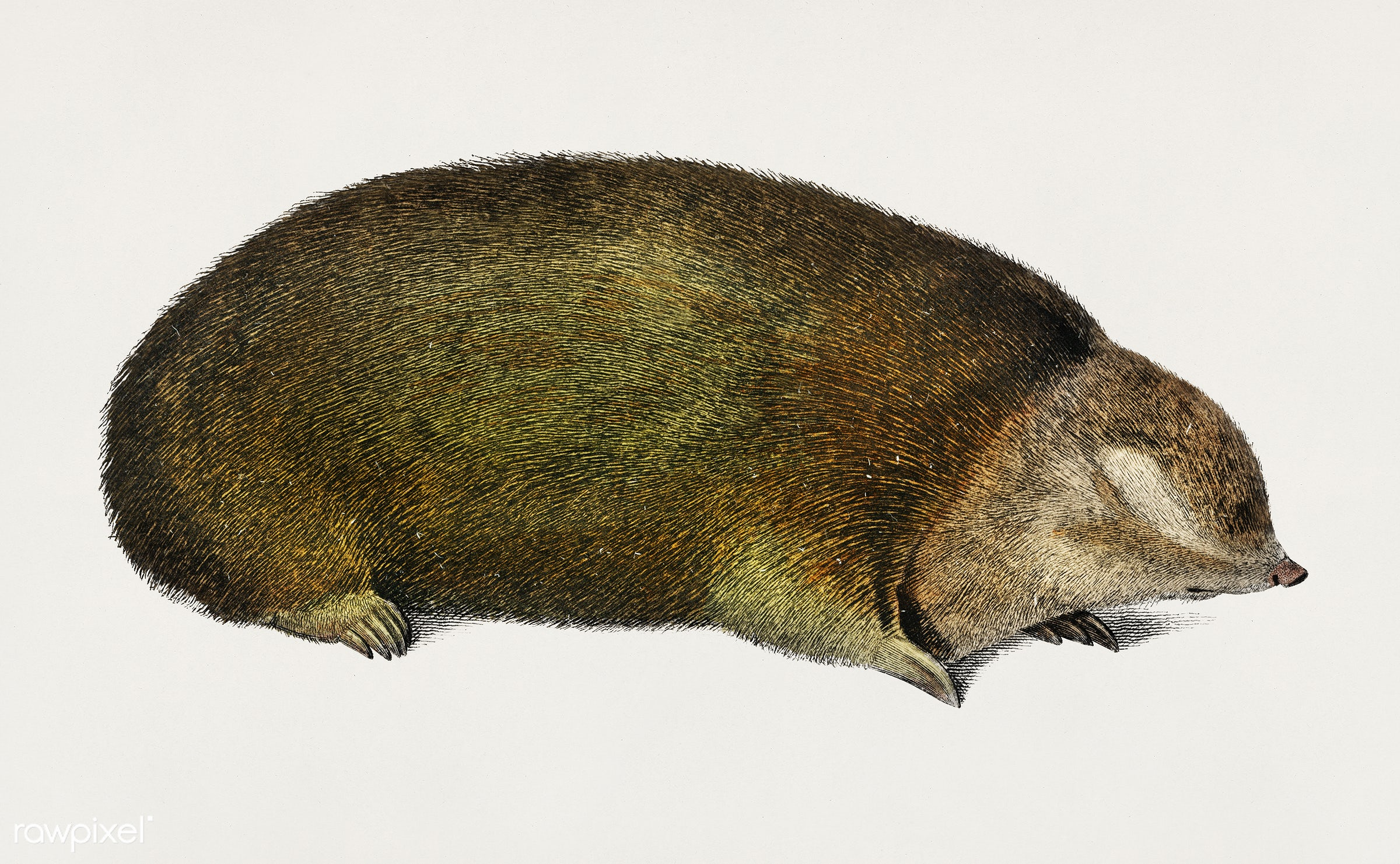 Golden mole (Chrysochloridae) illustrated by Charles Dessalines D' Orbigny (1806-1876). Digitally enhanced from our own...