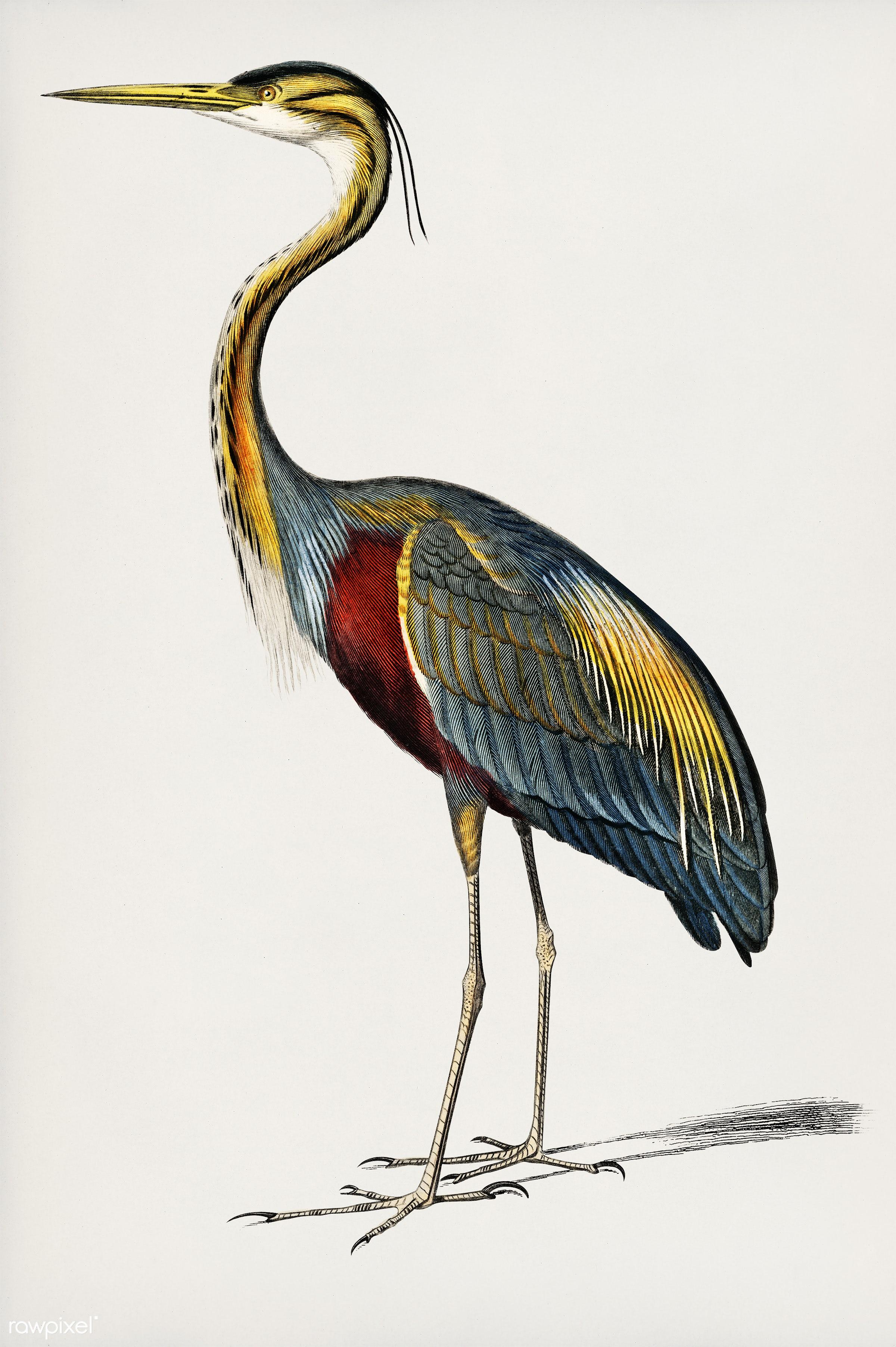 Purple heron (Ardea purpurea) illustrated by Charles Dessalines D' Orbigny (1806-1876). Digitally enhanced from our own...