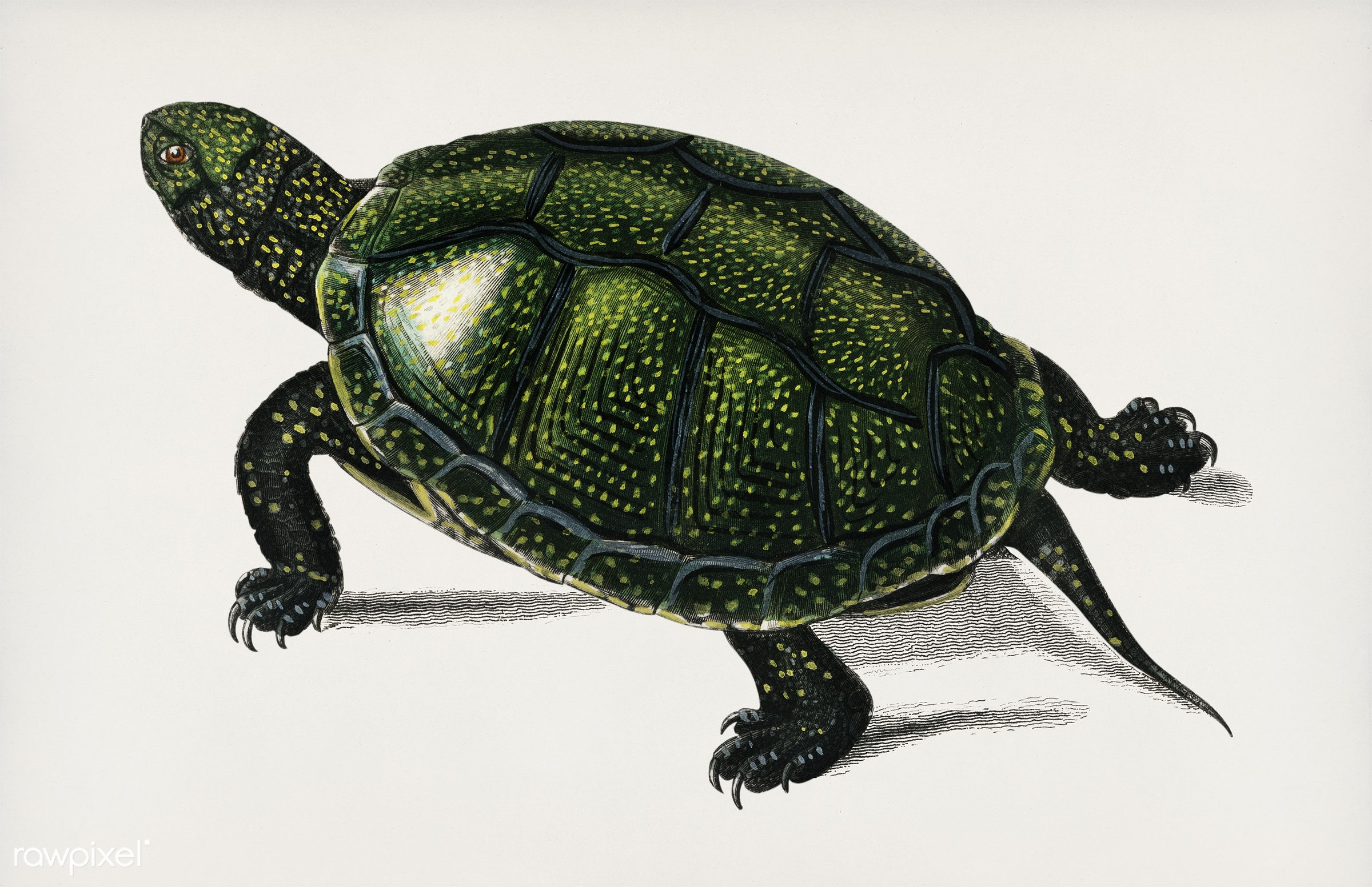Pond turtle (Emys orbicularis) illustrated by Charles Dessalines D' Orbigny (1806-1876). Digitally enhanced from our own...