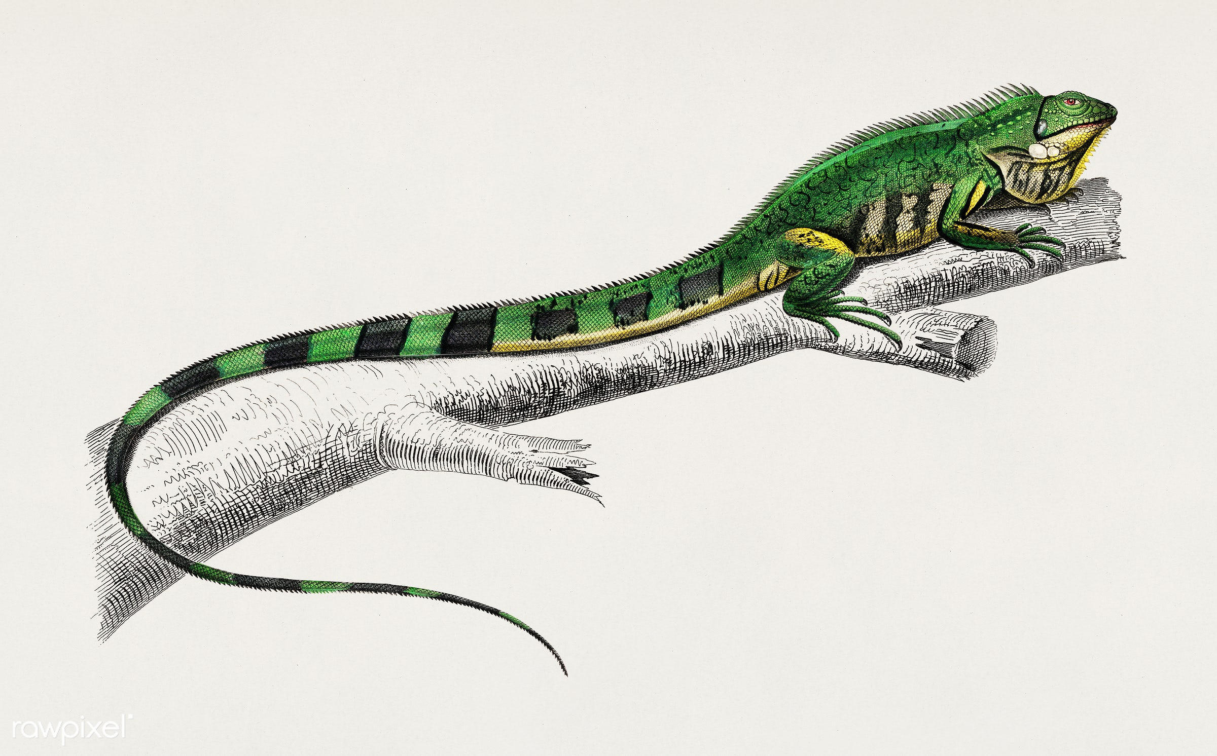 Green lizard (iguana) illustrated by Charles Dessalines D' Orbigny (1806-1876). Digitally enhanced from our own 1892...