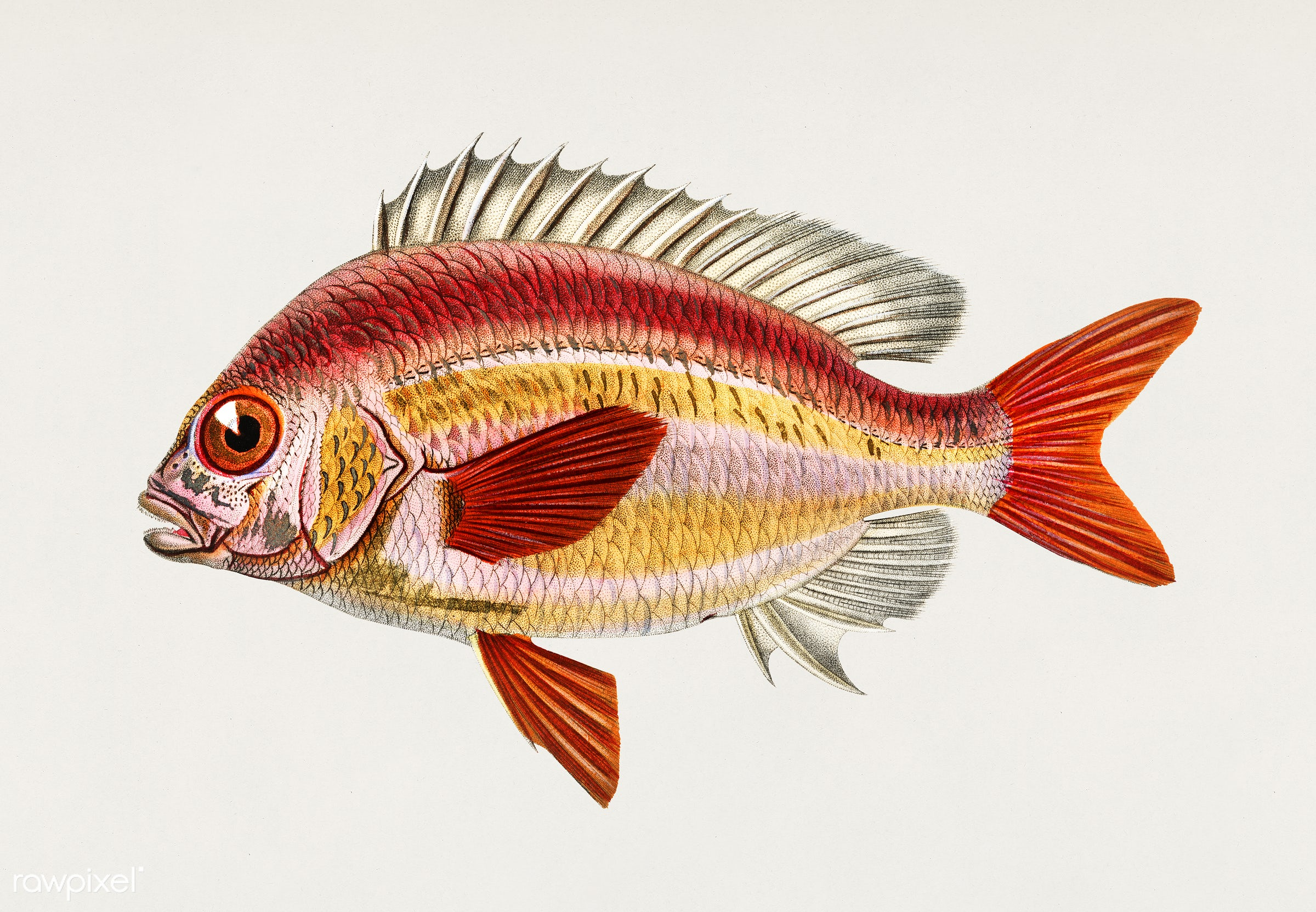Whitecheek monocle bream (Scolopsisscolopsides Vosmeri) illustrated by Charles Dessalines D' Orbigny (1806-1876)....