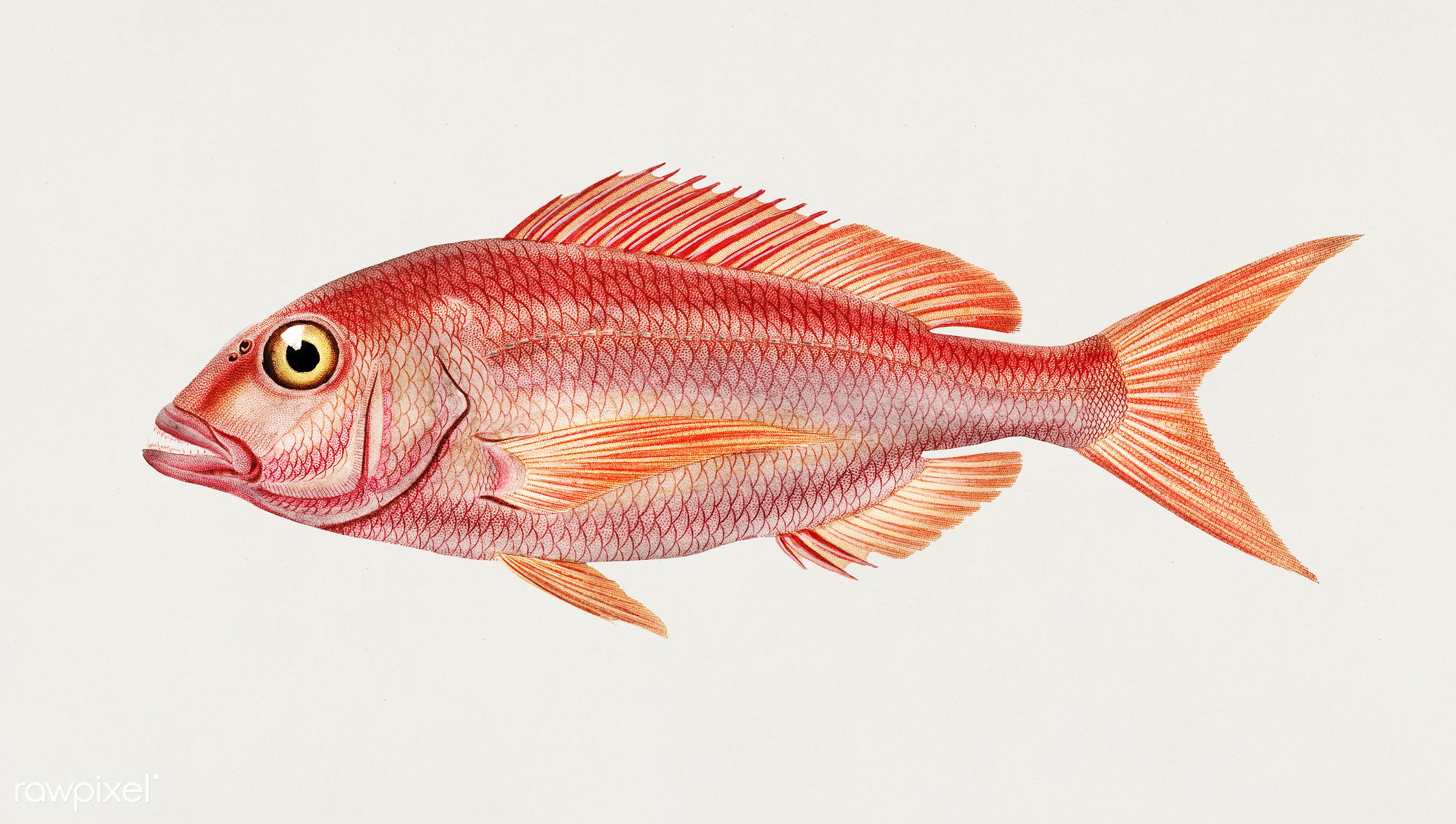 Picarel (Sparus Smaris) illustrated by Charles Dessalines D' Orbigny (1806-1876). Digitally enhanced from our own 1892...