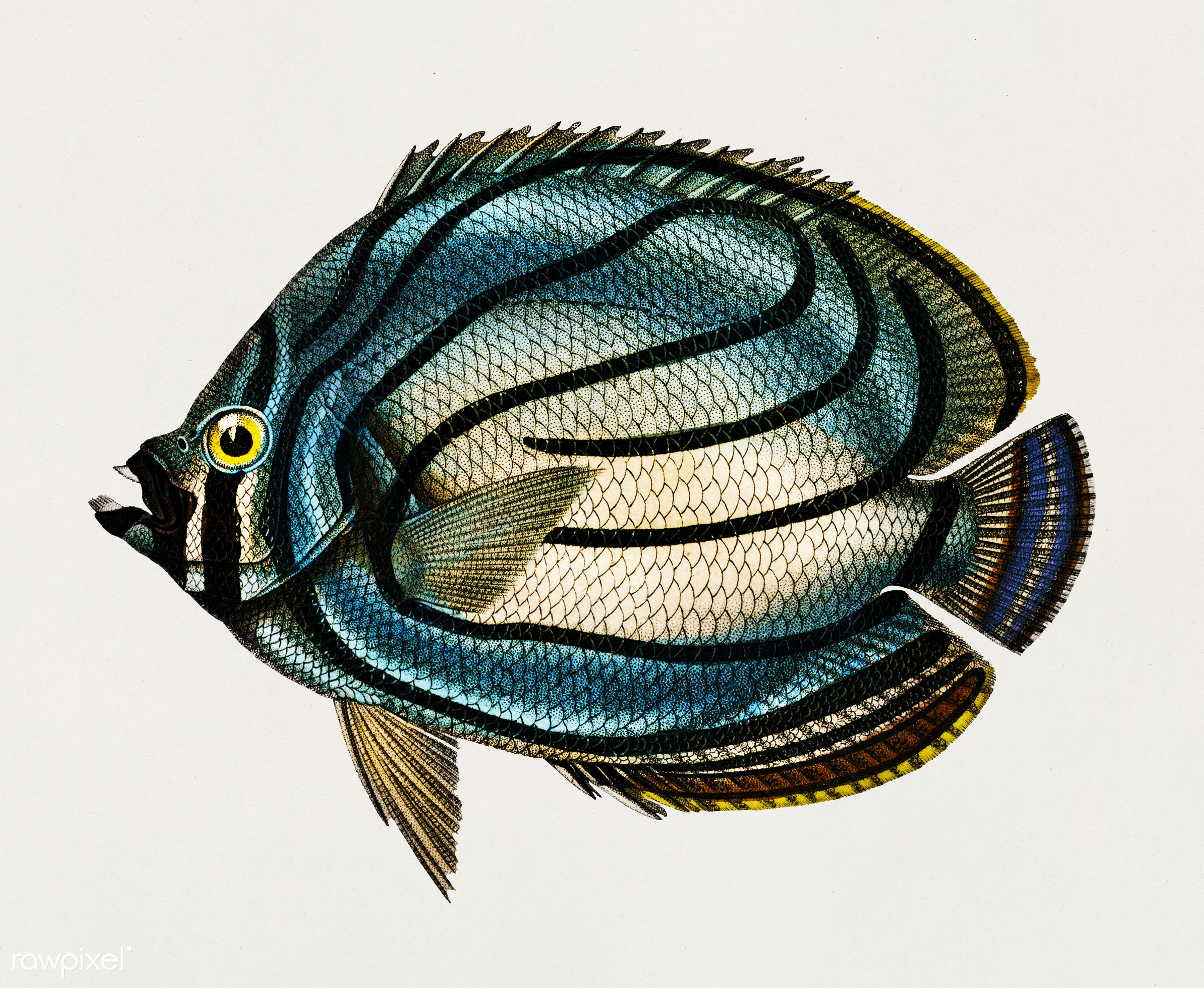 Chaetodon meyeri illustrated by Charles Dessalines D' Orbigny (1806-1876). Digitally enhanced from our own 1892 edition...