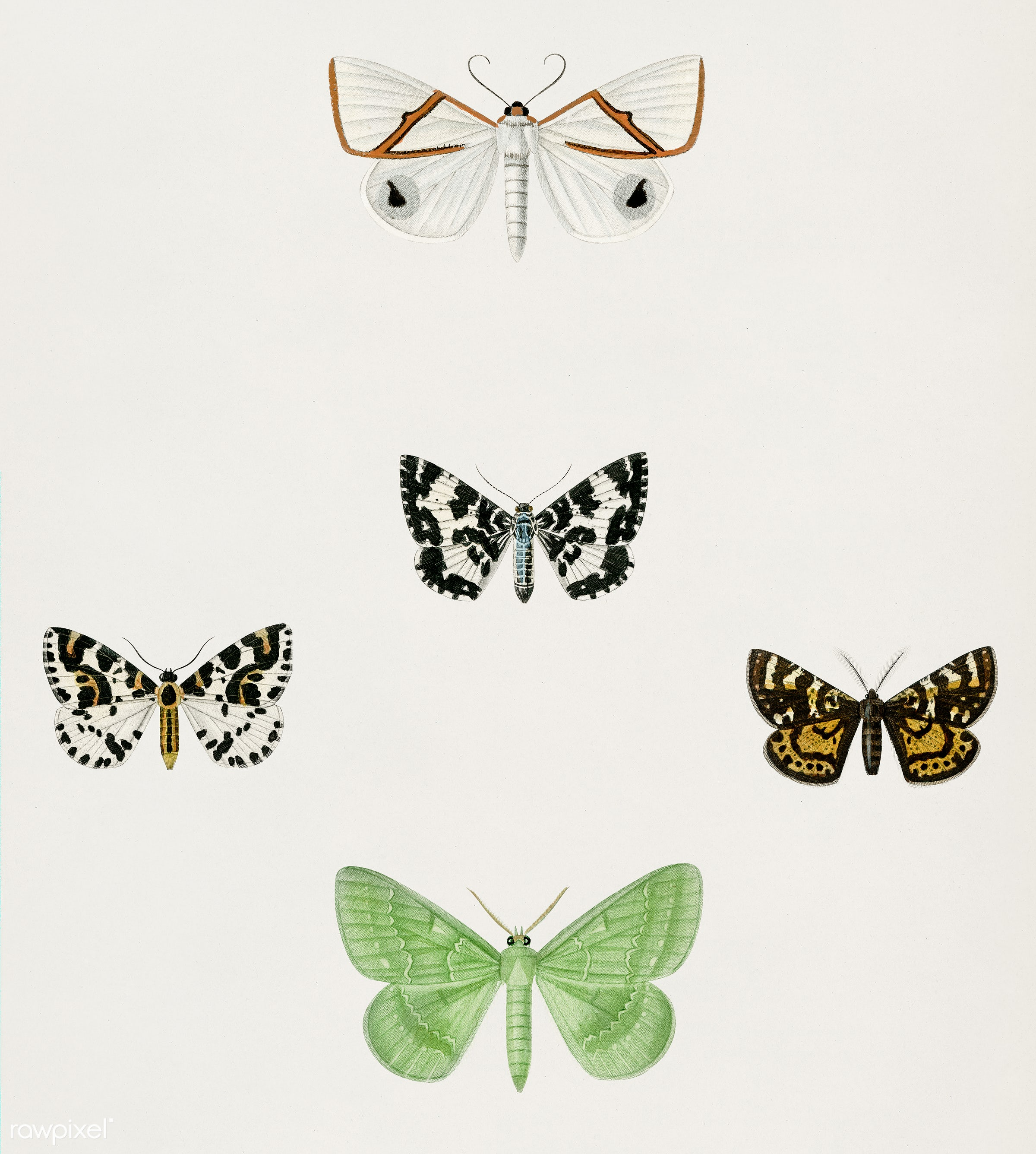 Different types of moths illustrated by Charles Dessalines D' Orbigny (1806-1876). Digitally enhanced from our own 1892...